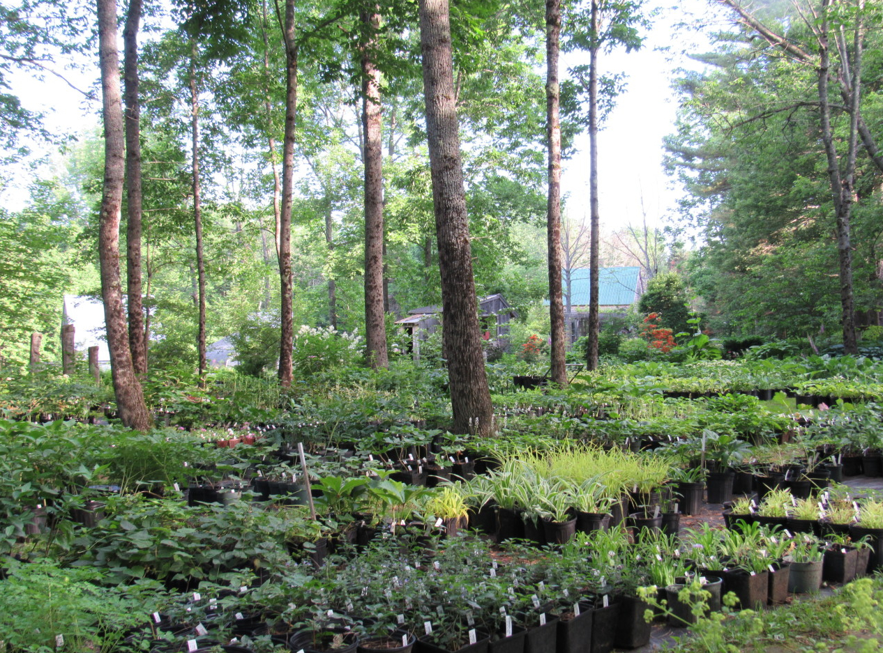 At Fernwood Nursery & Gardens in Montville, Maine, almost all of its cold-hardy, shade-loving woodland plants are raised outdoors. The nursery's large, site-propogated collection includes over 100 native varieties of flowers, shrubs and trees. PHOTO: Fernwood Nursery