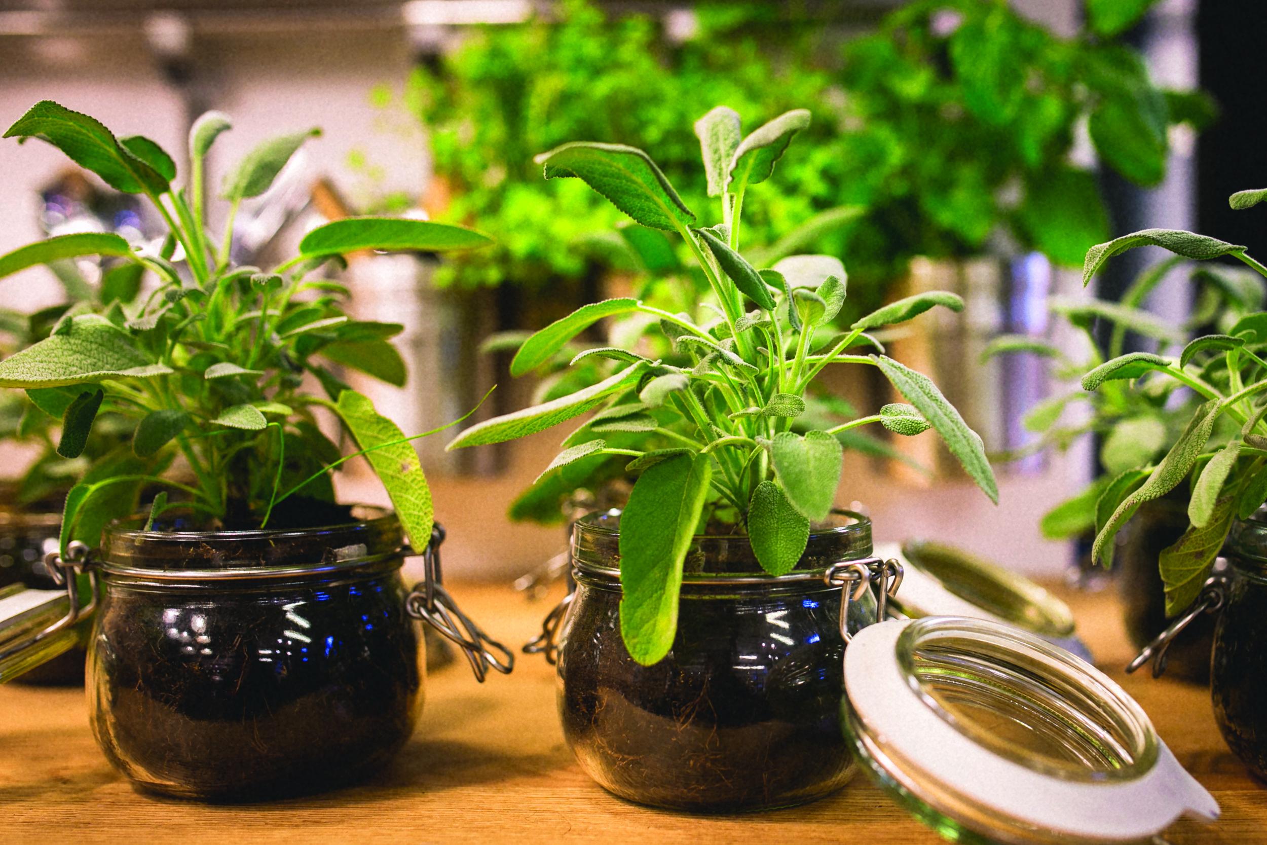 Herb plants in jars .jpg