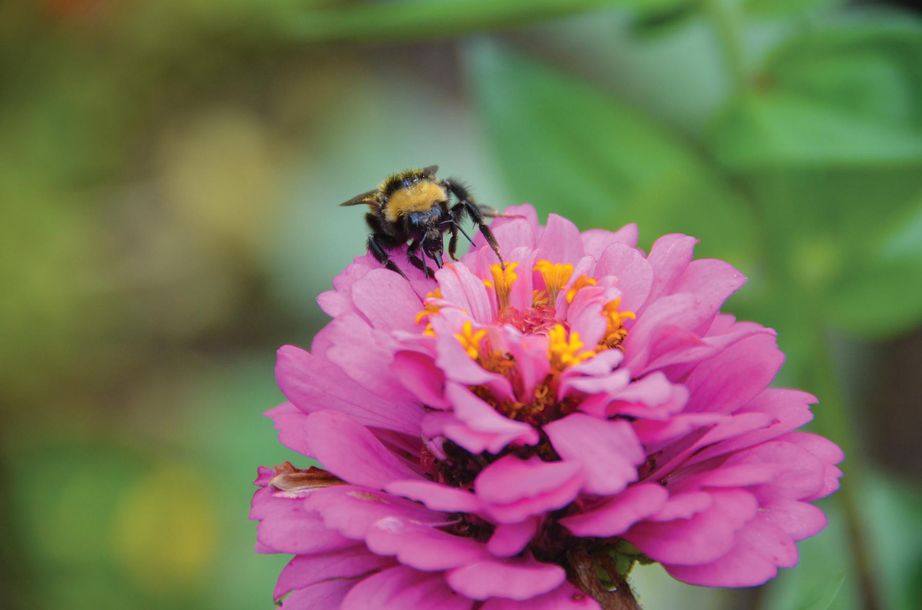 A bee feasts on a zinnia at the Coastal Maine Botanical Gardens (photo courtesy of CMBG)