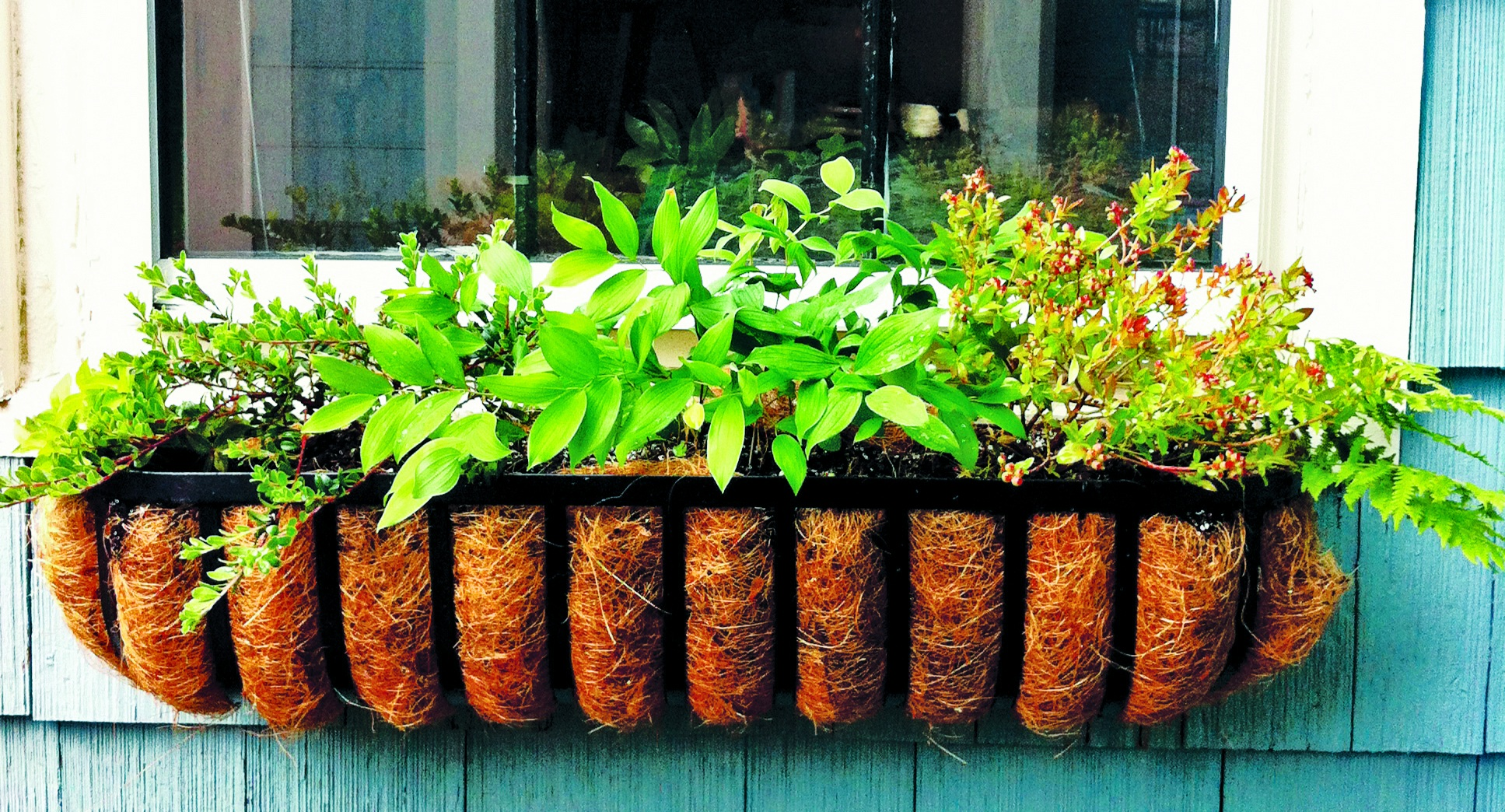 Apartment and condo dwellers can plant natives in window boxes and pots. This window box has bearberry, lowbush blueberry, and bellwort.