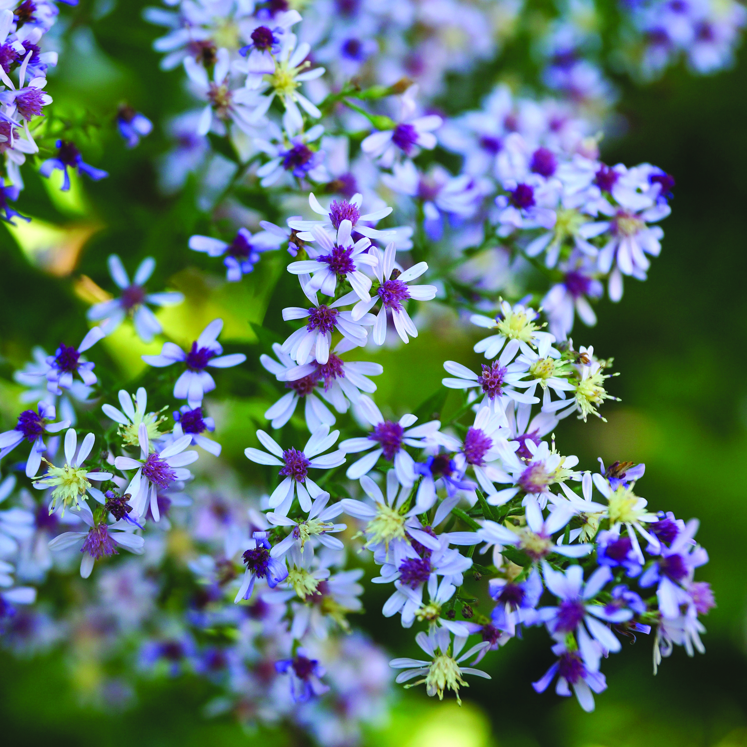 Blue wood aster is an adaptable fall blooming perennial for tough urban conditions and shady woodland edges.