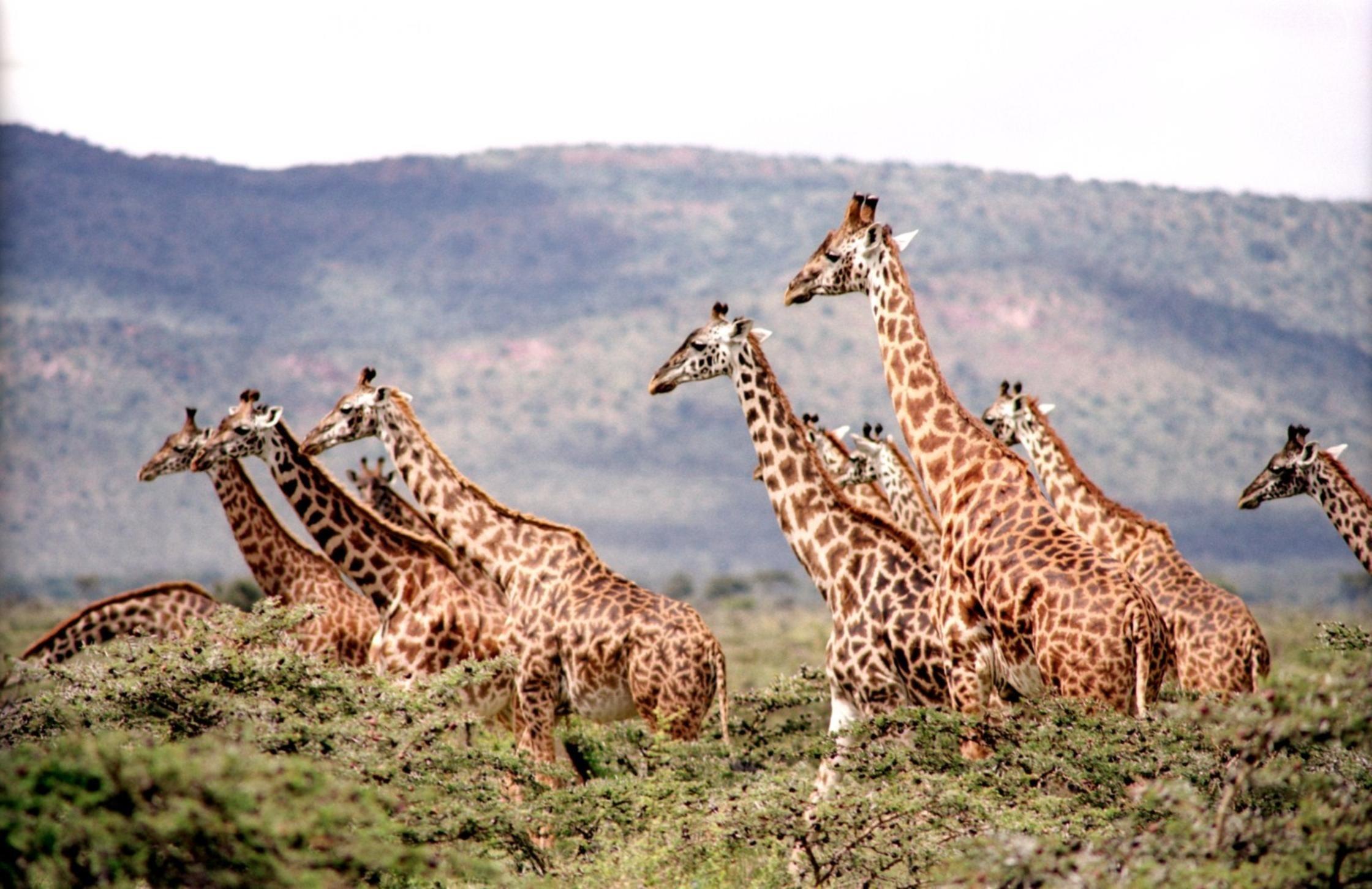 animals-giraffes-wildlife-38534.jpg