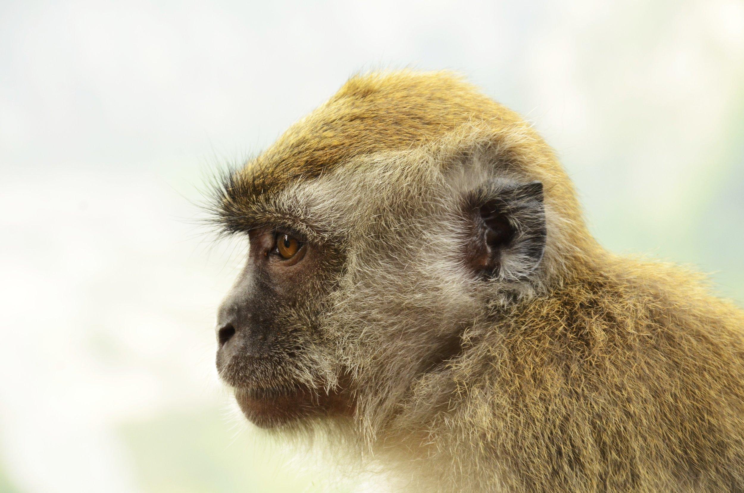 Makaak in Sumatra