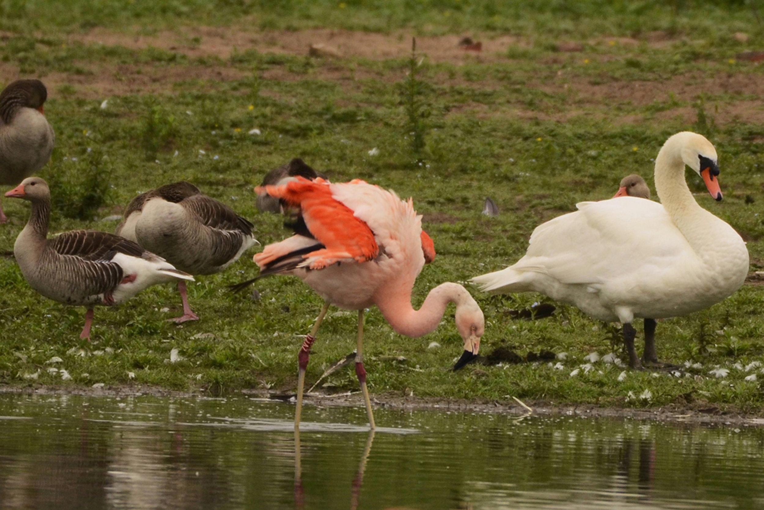 Flamingo in de Duursche Waarden bij de IJssel