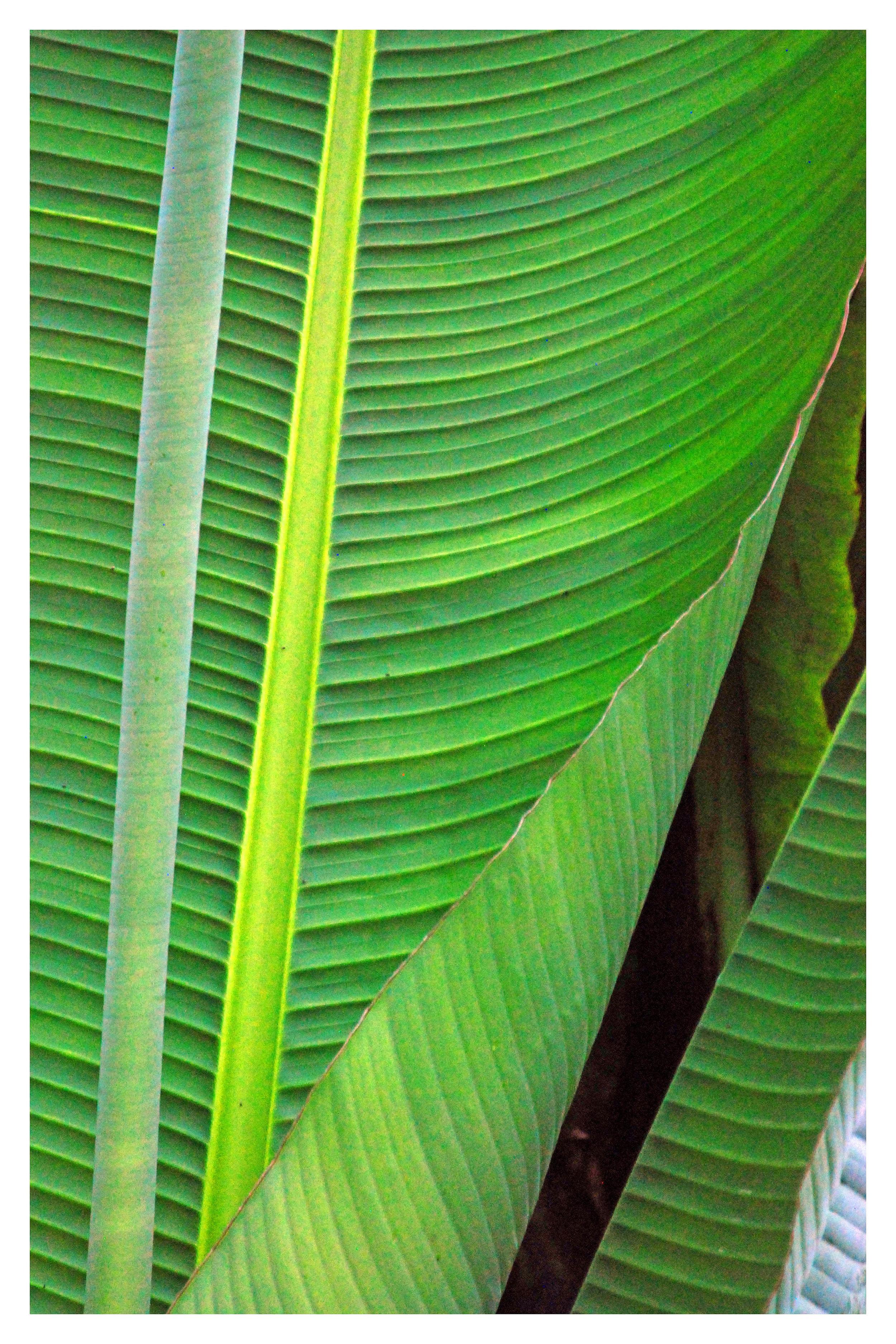 Bananenblad 30x45 incl rand.jpg