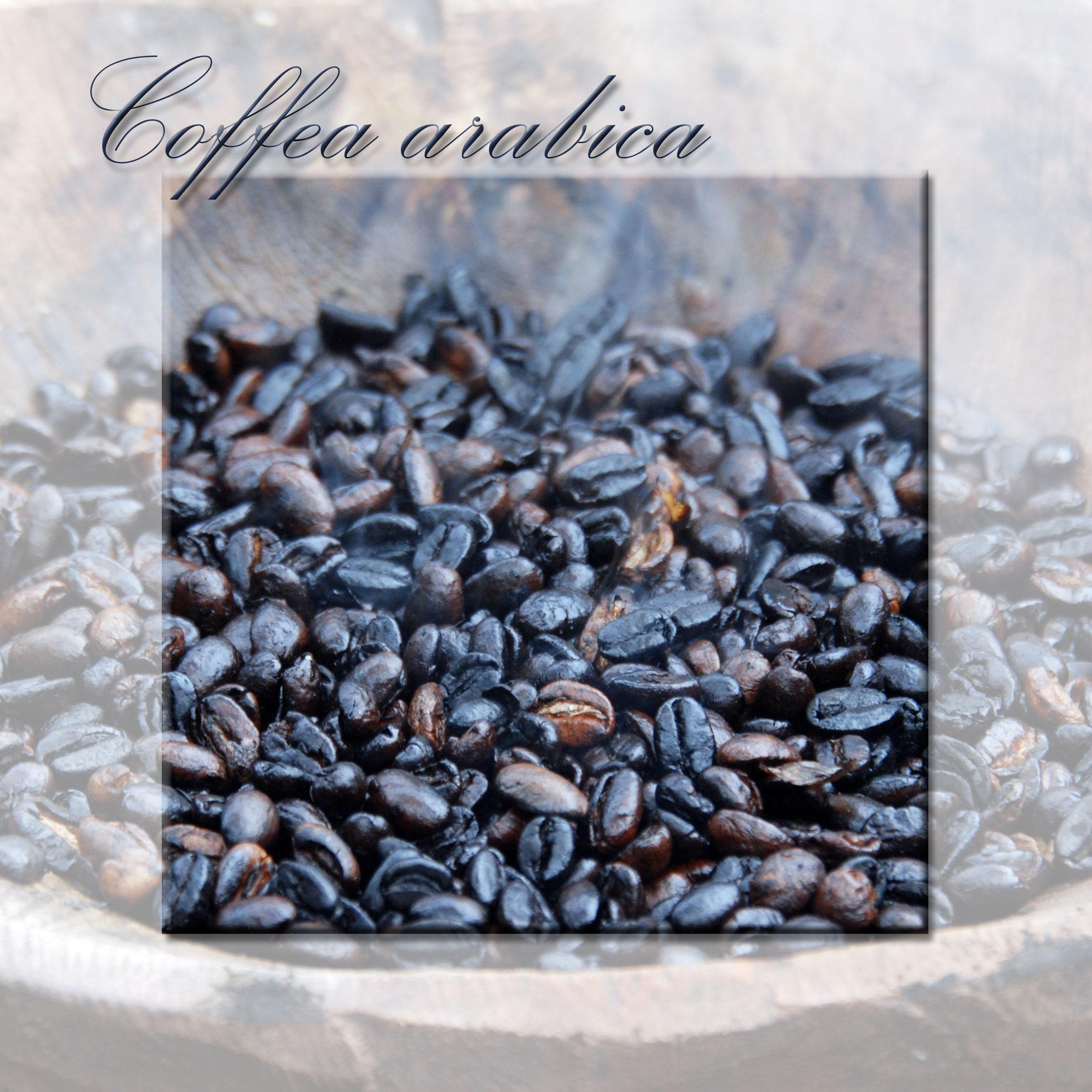 Coffea arabic.jpg