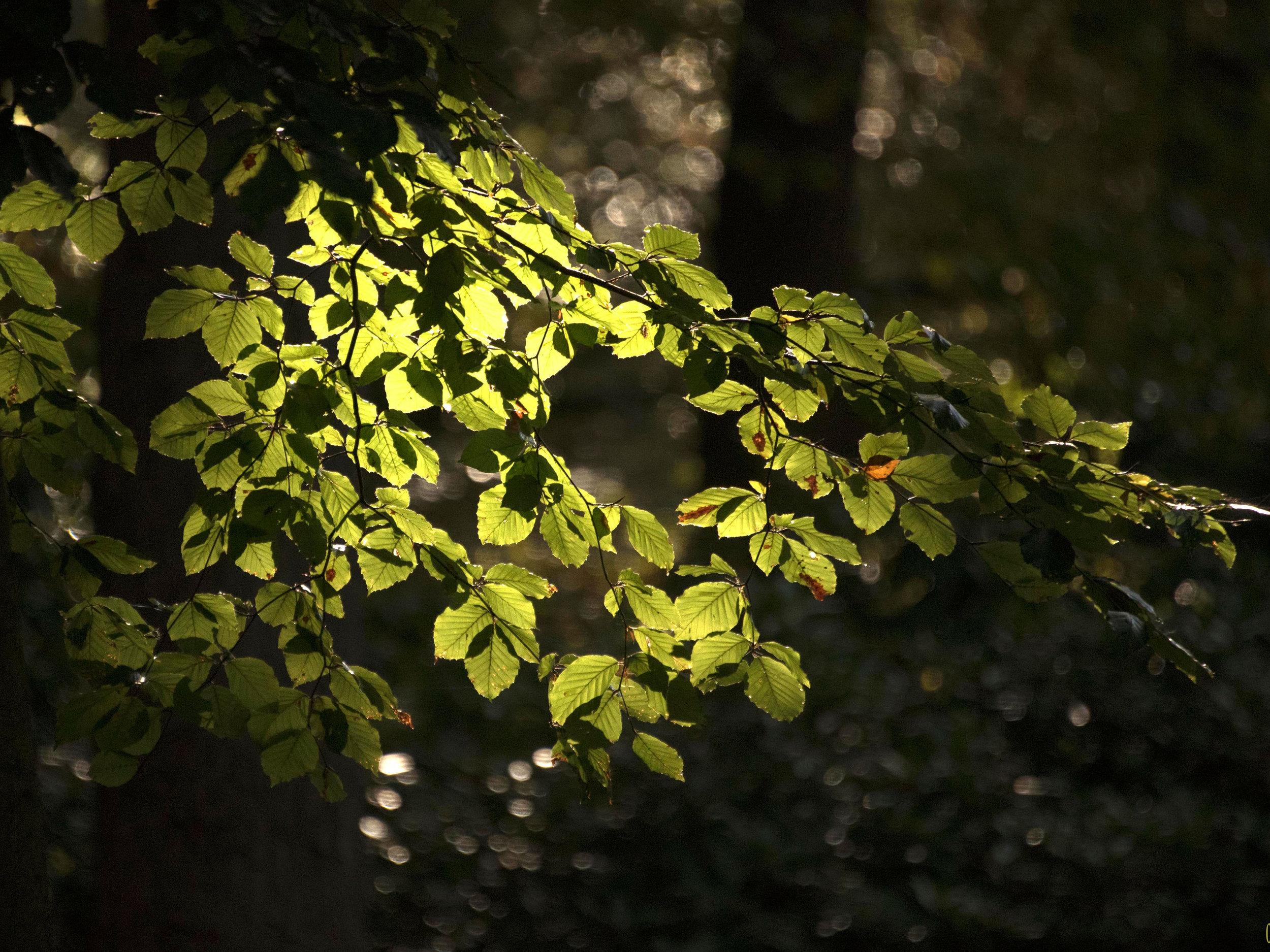 Fotograaf Cees Ooms - Beukenboom bij Sion
