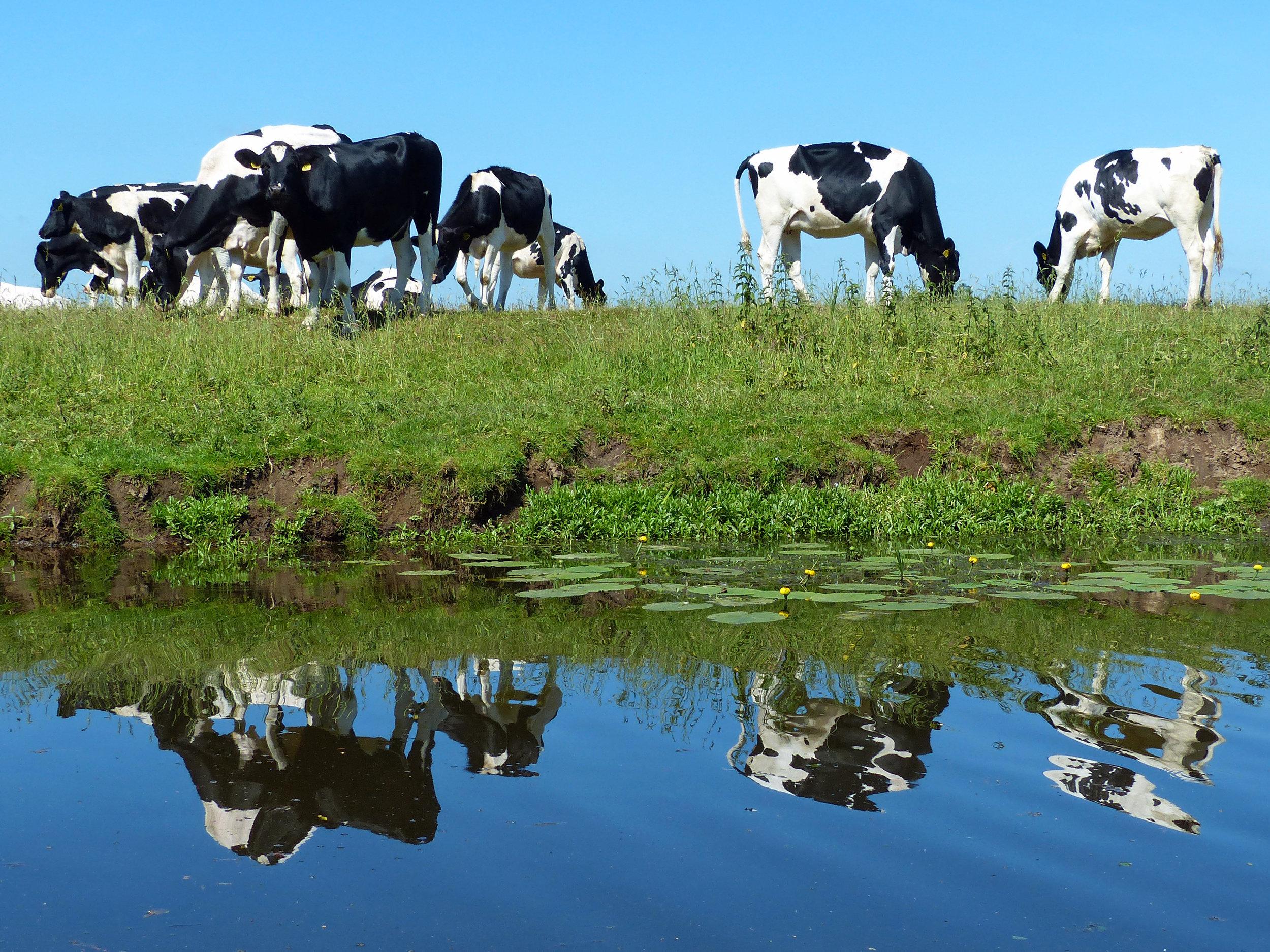 Fotograaf Claudy Kelder - Zwartbonte koeien
