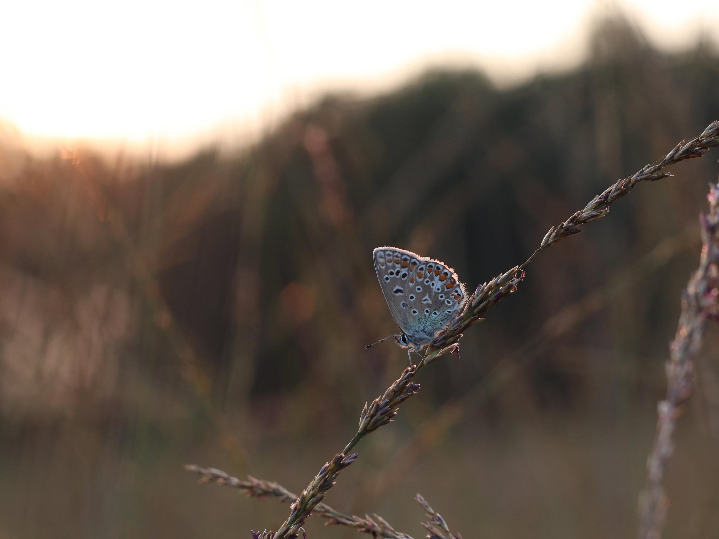 Fotograaf Dorien Kleiboer - Heideblauwtje op het Boetelerveld