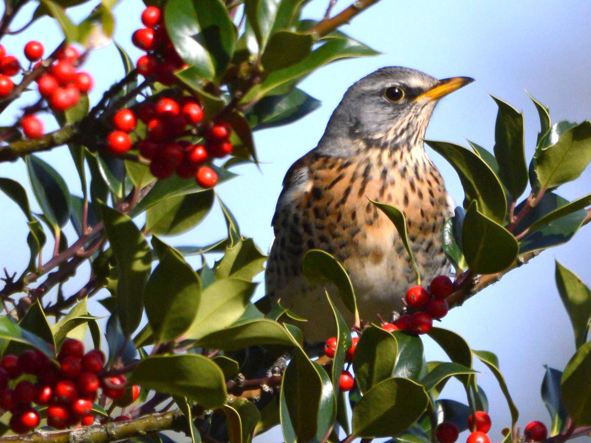 Fotograaf Hennie Kleine Koerkamp - Kramsvogel