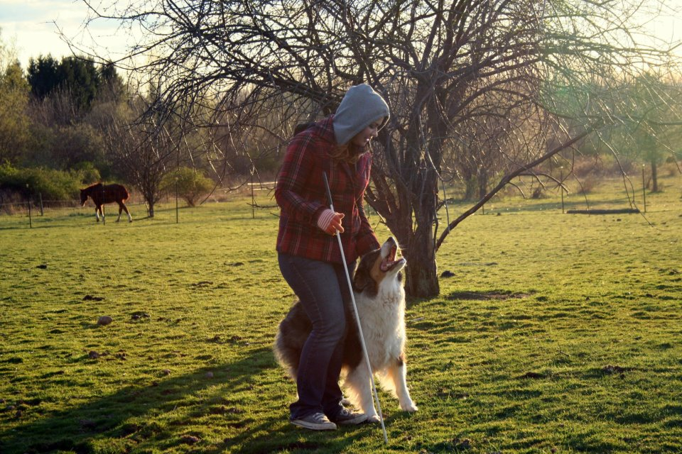 """Amanda's late beloved personal working partner """"Milo"""", an Australian Shepherd was one of the top herding dogs in the country for the 2009-2010 year."""