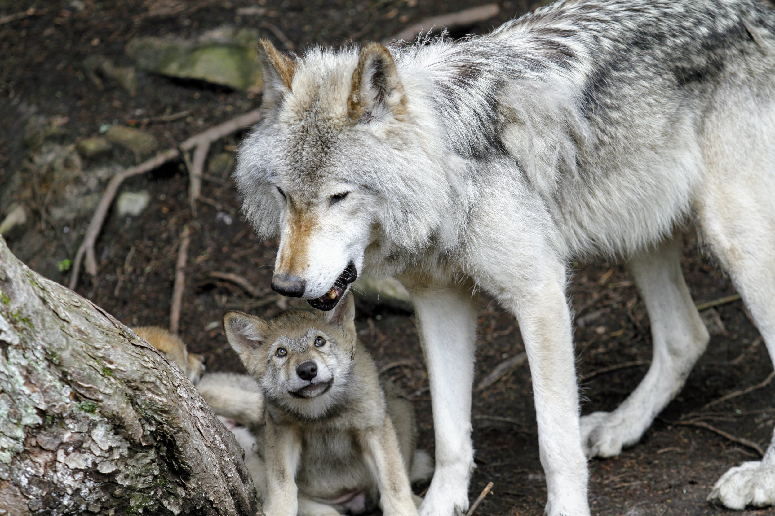 Wolves at Colorado Wolf and Wildlife Center