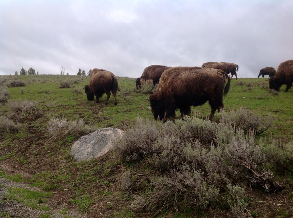 chris bison.jpg