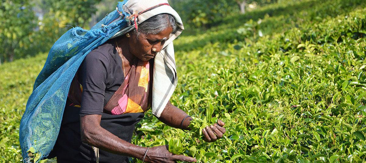 Travel-Architects-Sri-Lanka-tea-picking-1200.jpg
