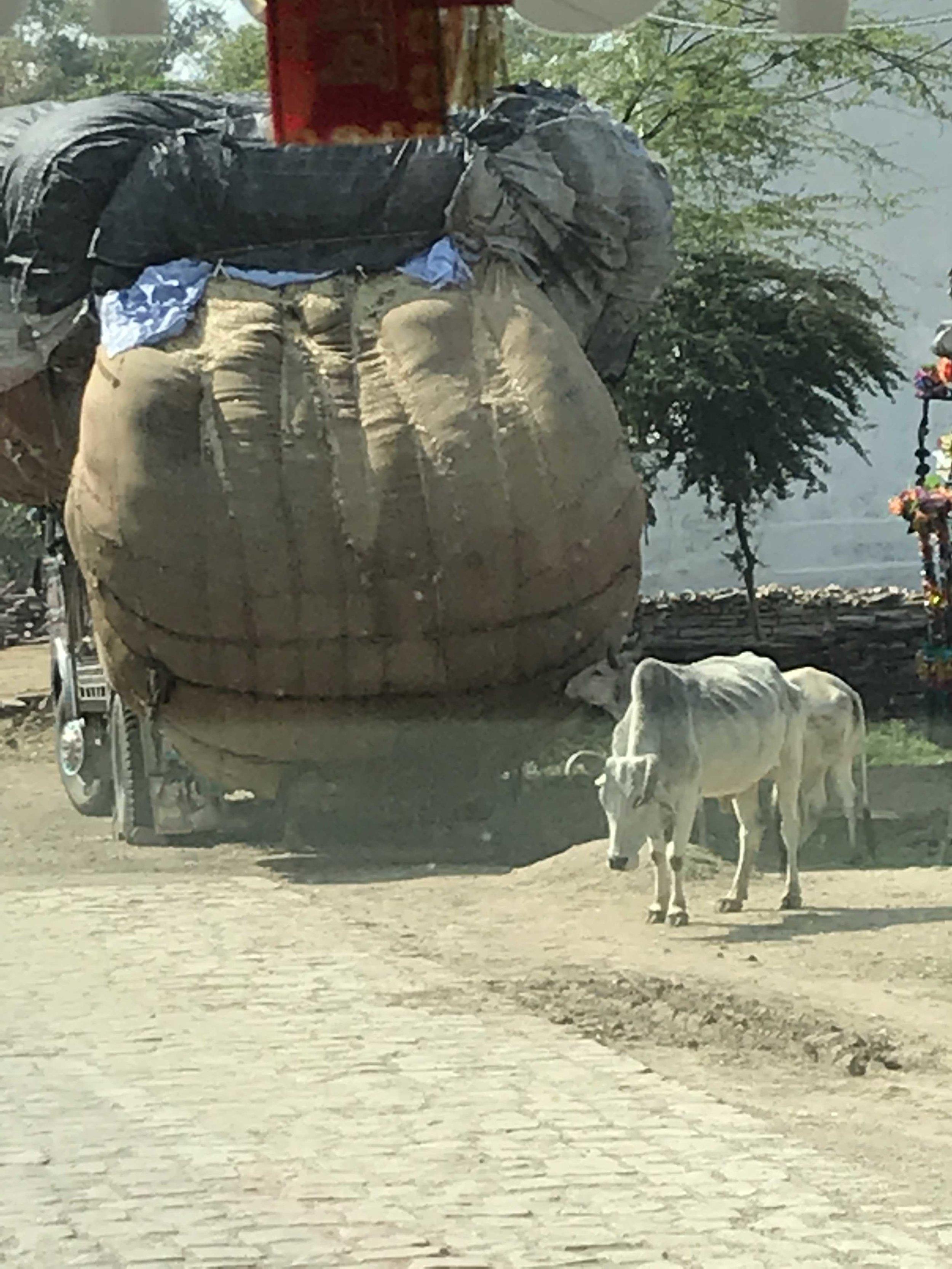 Raj overloaded cart with cow.jpg