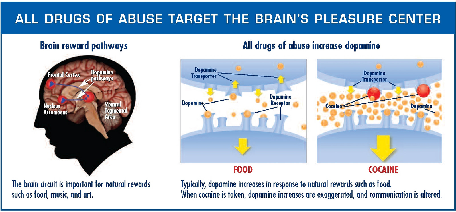 Here's a simple yet comprehensive illustration of the difference between the food- and drug-induced dopamine response (credit to NIH).