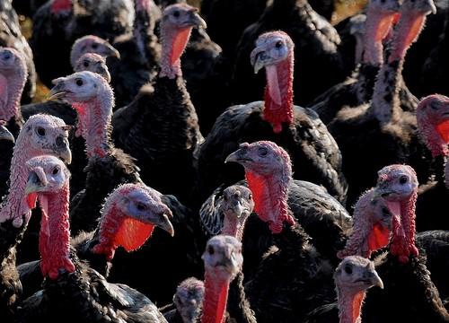 turkeys-e1321533659740.jpg