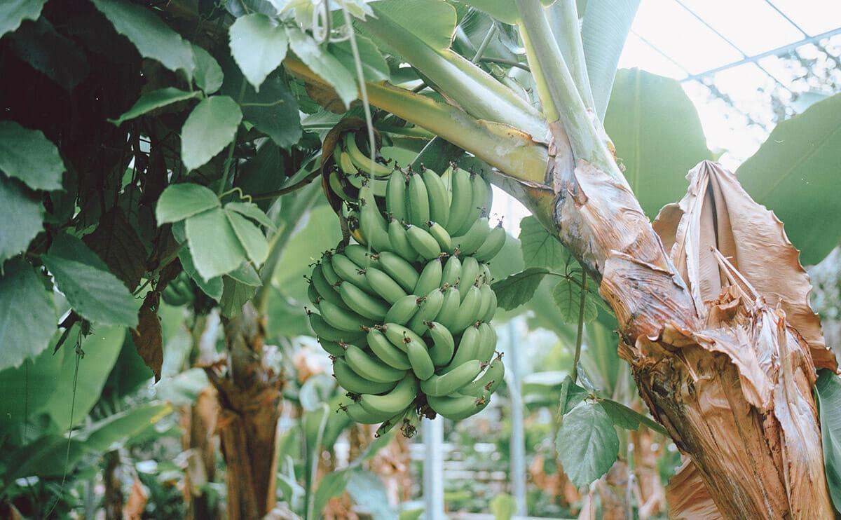 BananaIceland.jpg