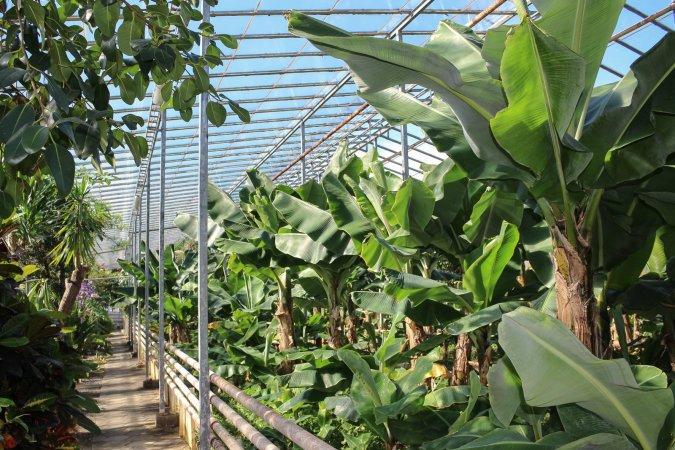 greenhousebanana.jpg