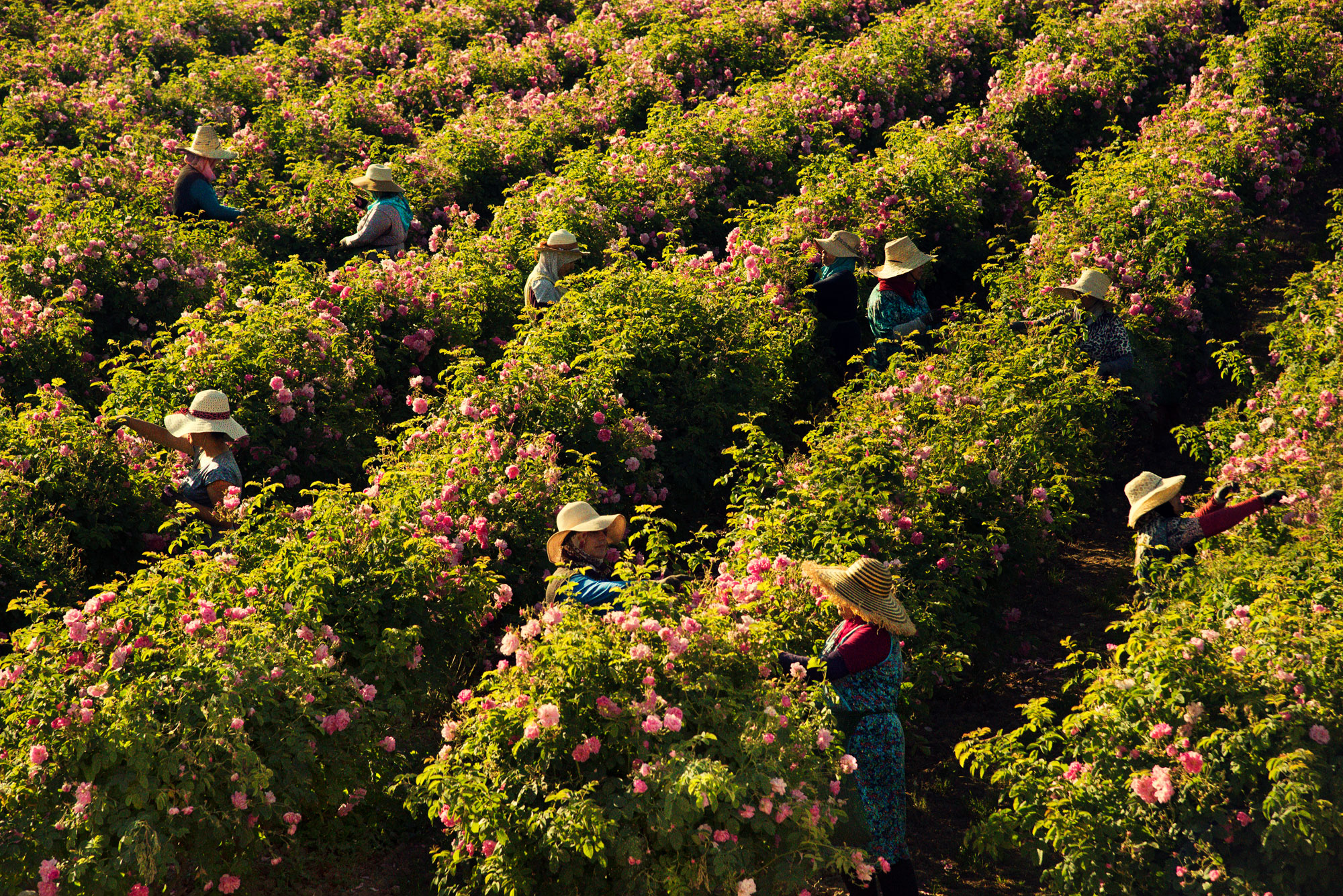 scent_roses.jpg