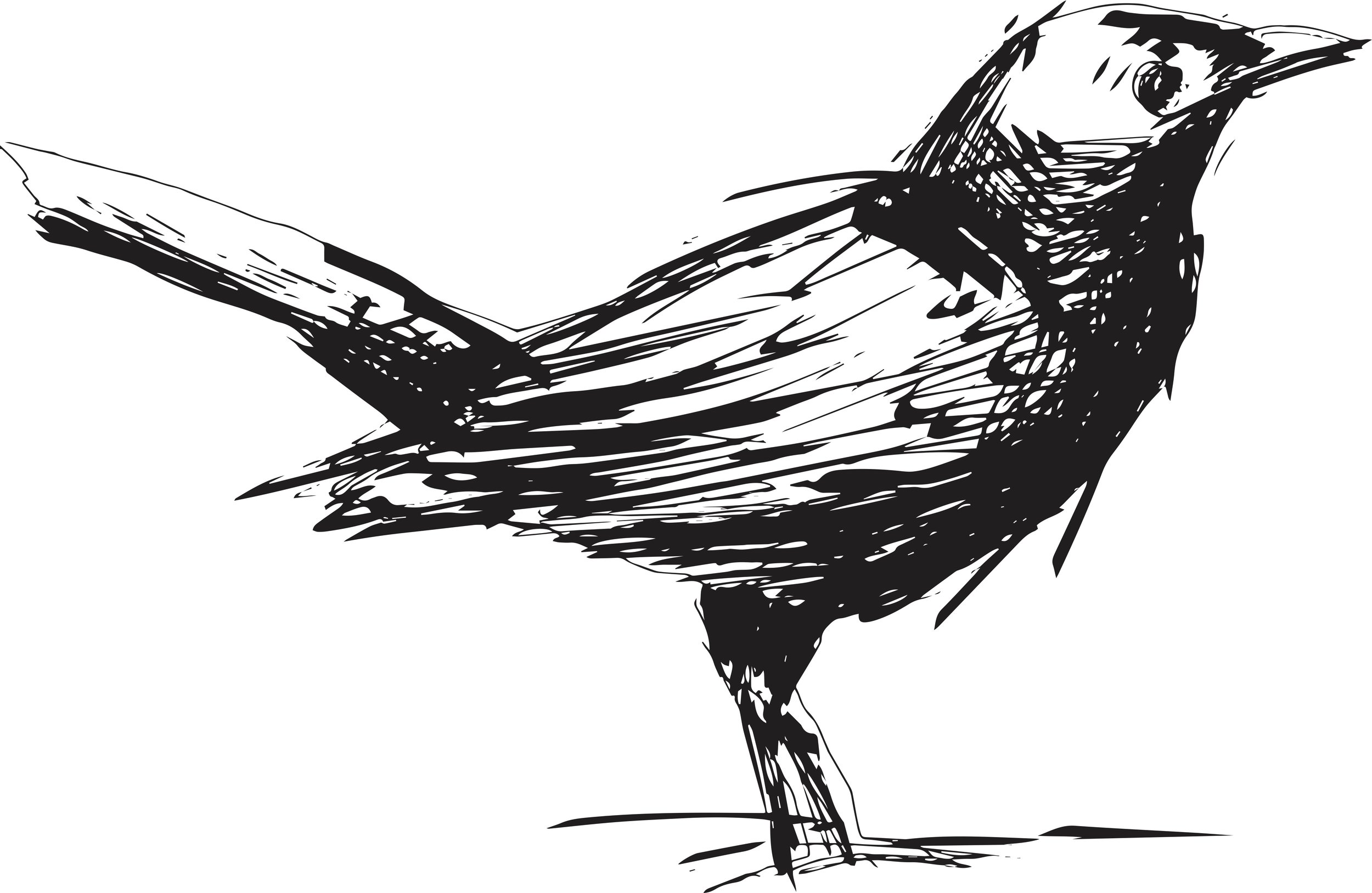 Blackbird Handrawn.jpg
