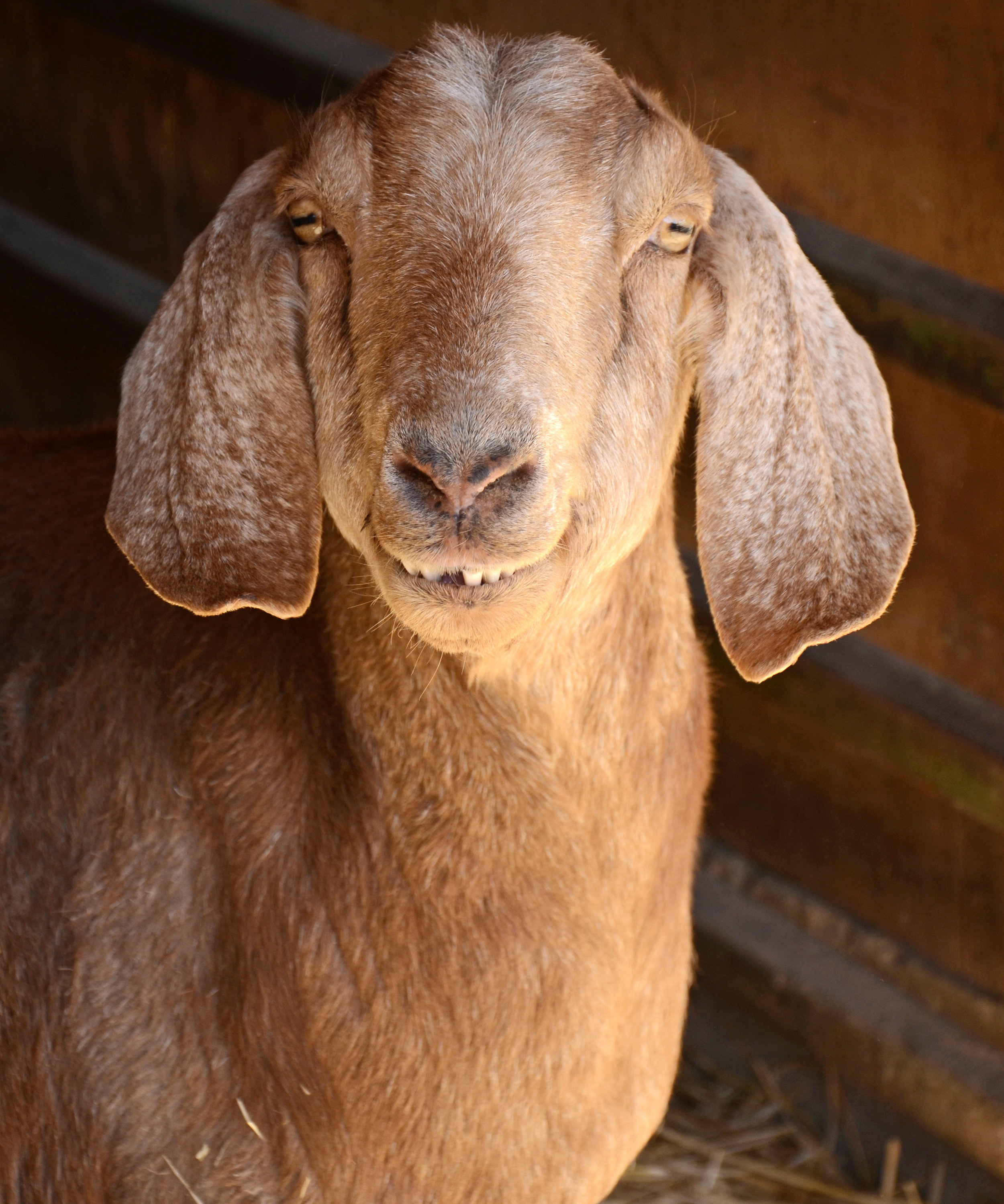 Maria SCA Goat_CREDIT_Farm_Sanctuary.JPG