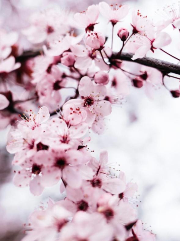 Ipseity Incandescent Healing Studio Reiki Healing, Cherry Blossom Photo Credit: www.ben-calhoun.com