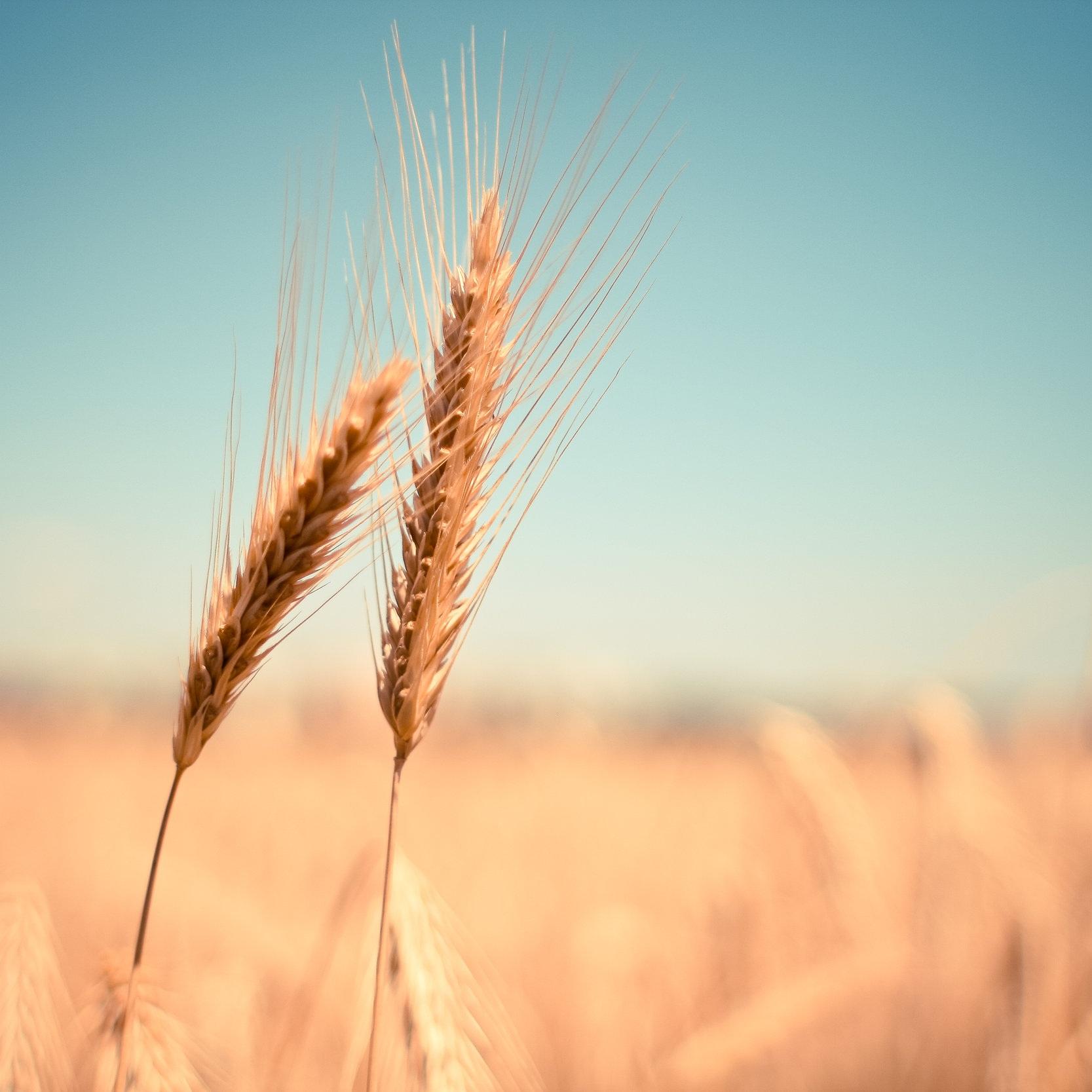 grain-field-detail-picjumbo-com.jpg