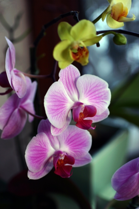 pink-and-yellow-orchids.jpg