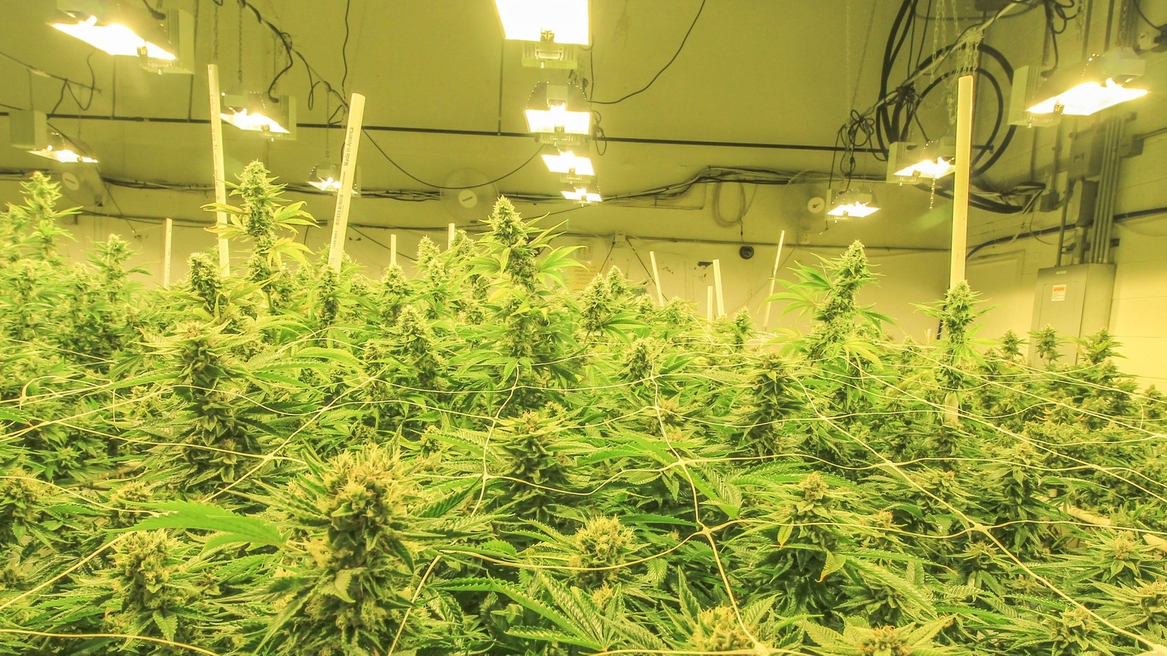 #1 Director Of Cultivation - Average national salary range for qualified professionals: $88,000 to $250,500