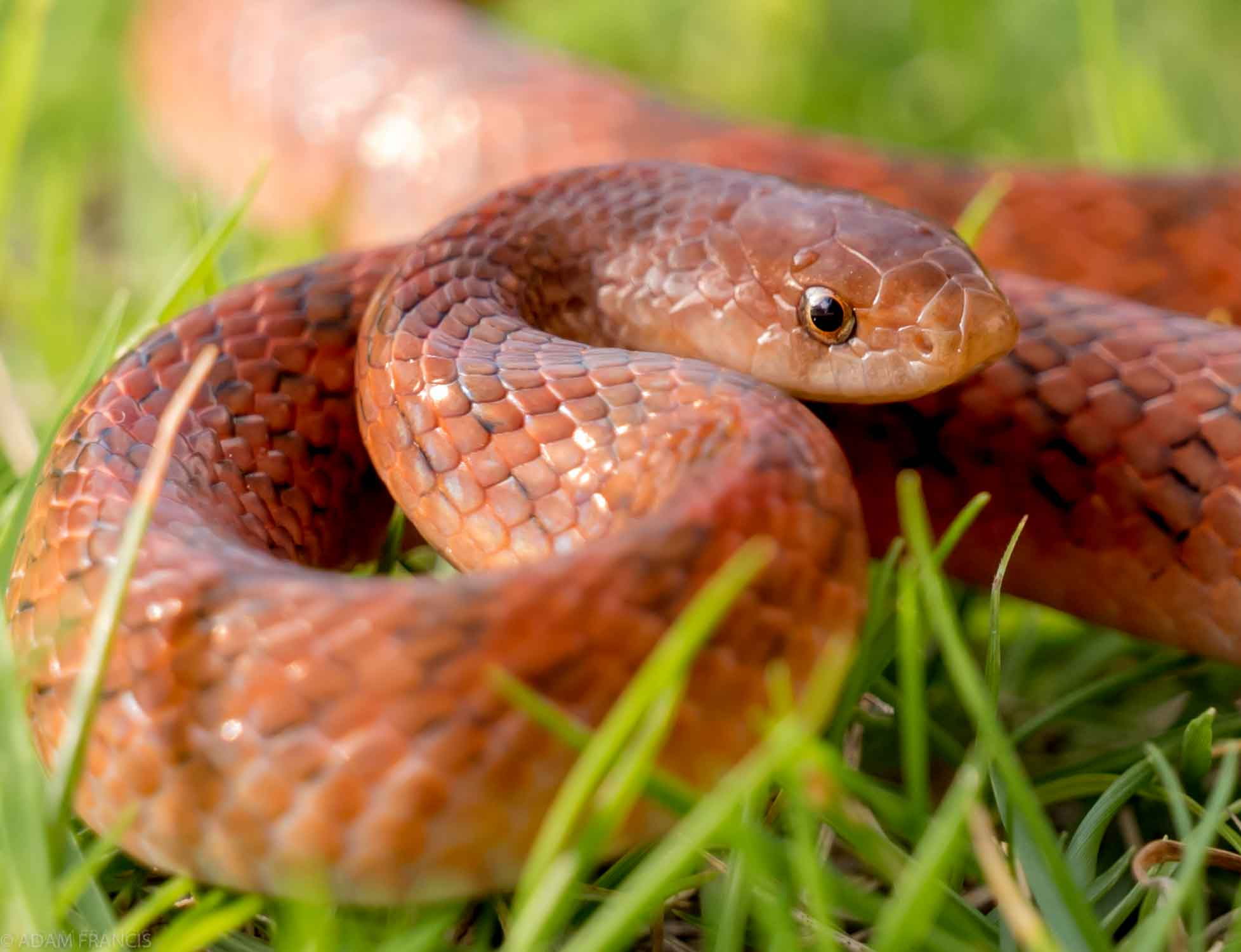 紫棕小頭蛇