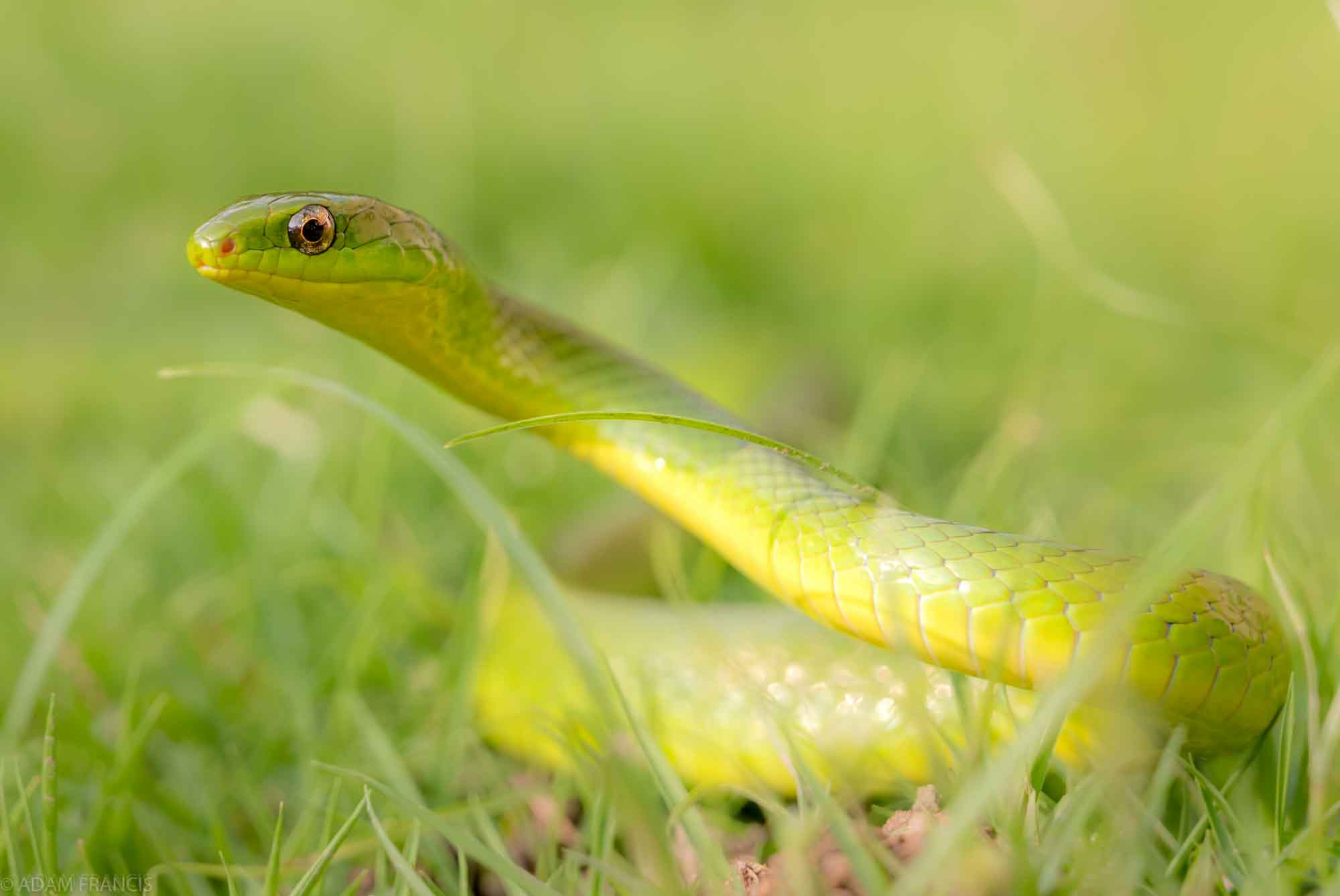 Greater Green Snake - Cyclophiops major