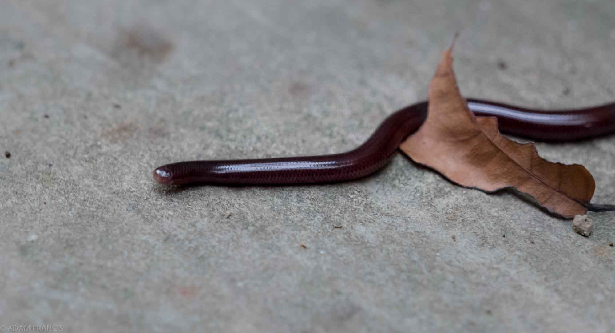 Copy of Common Blind Snake