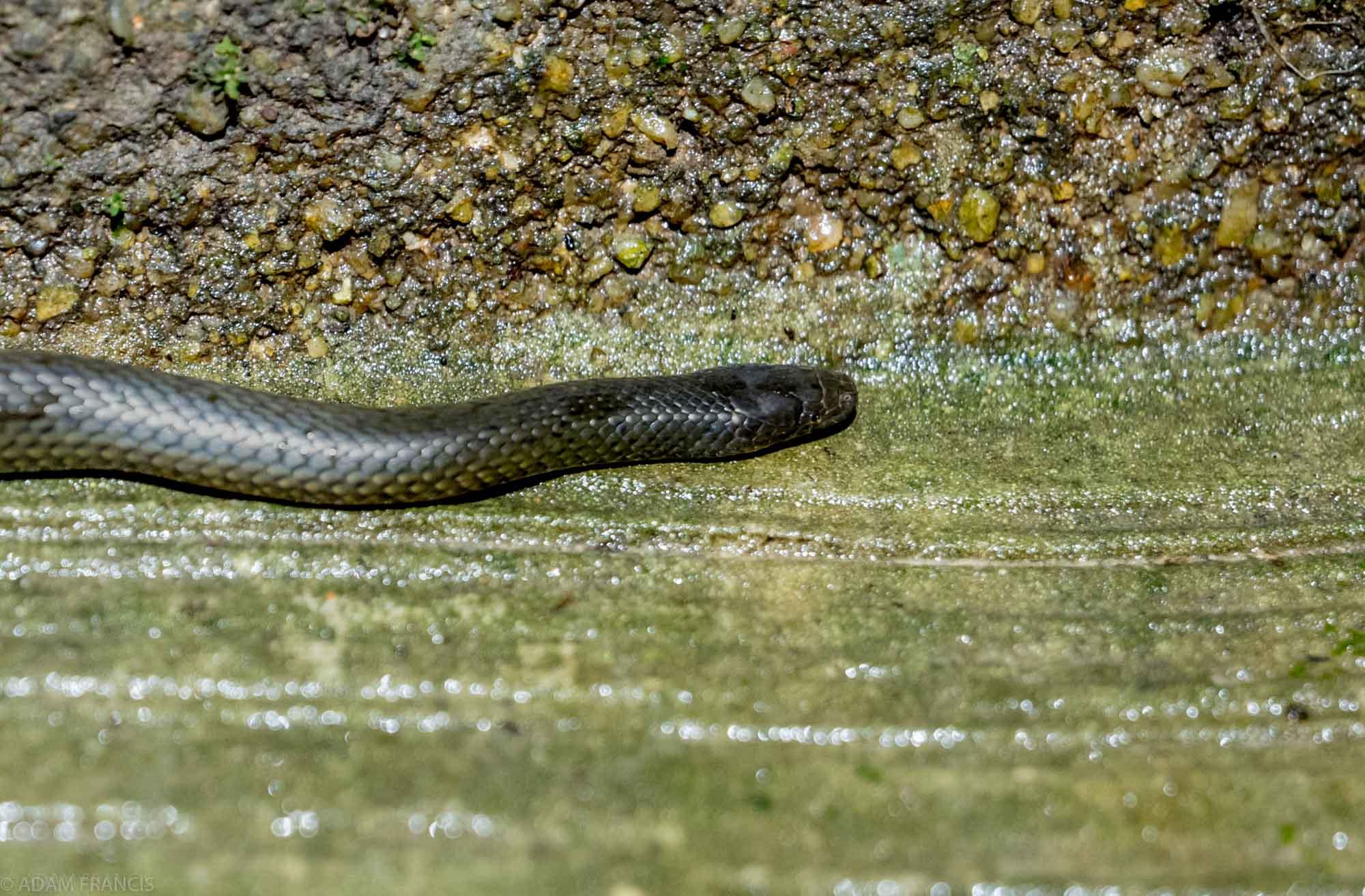 Copy of Anderson's Stream Snake