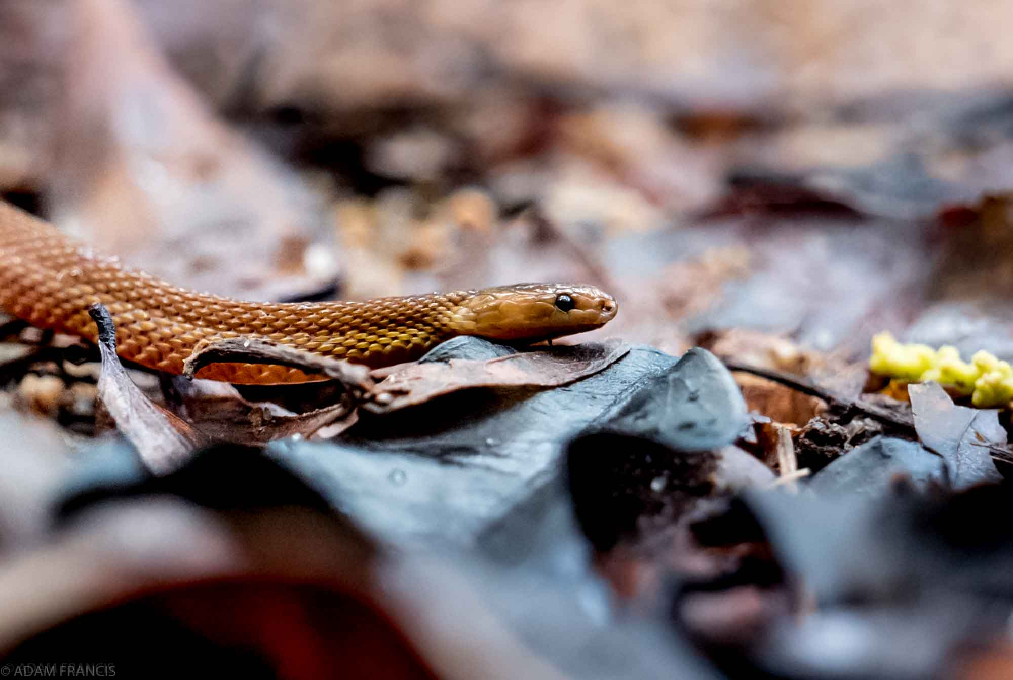 Copy of Burrowing Rufous Snake