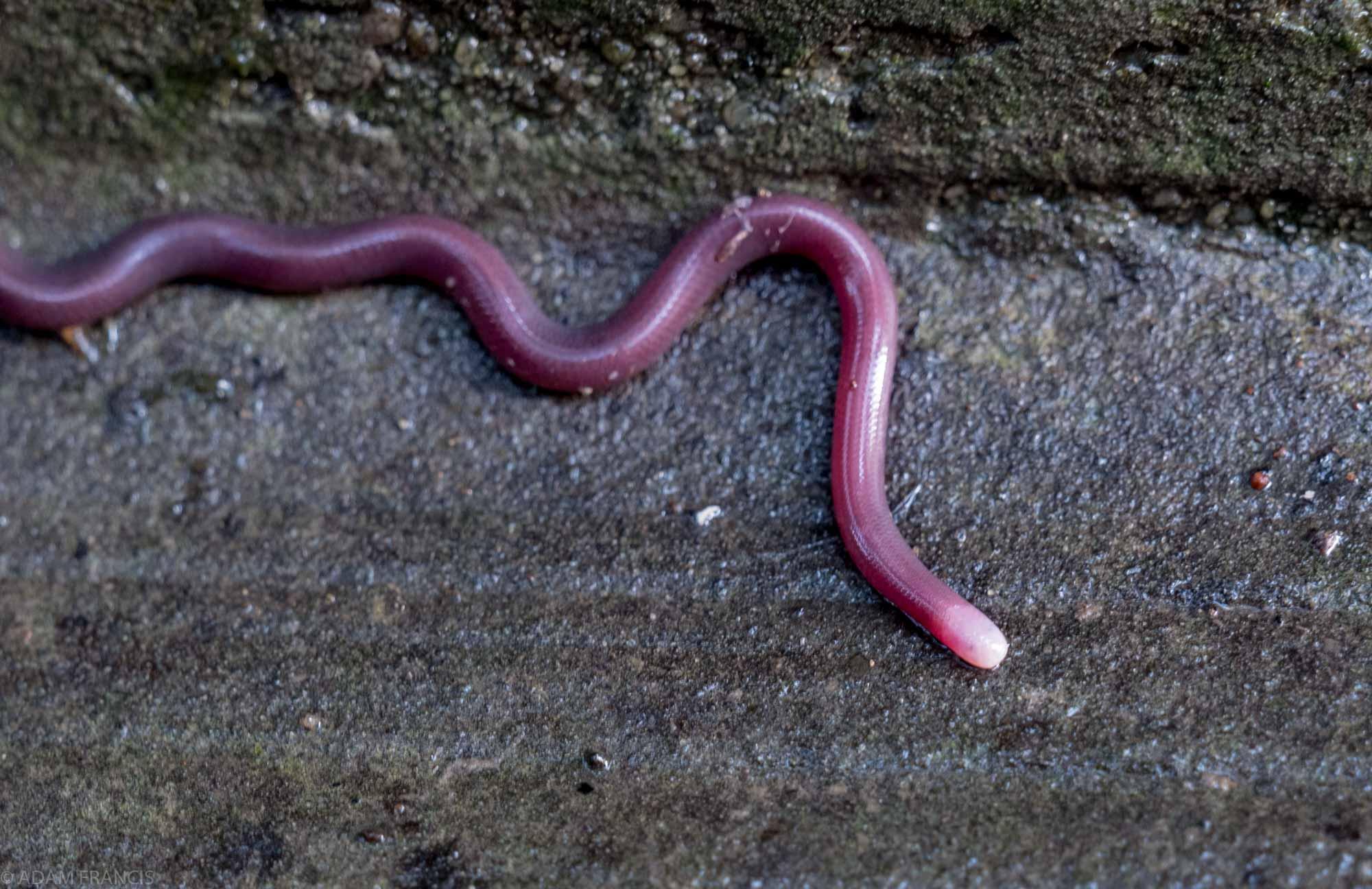 Copy of White-headed & Lazell's Blind Snake