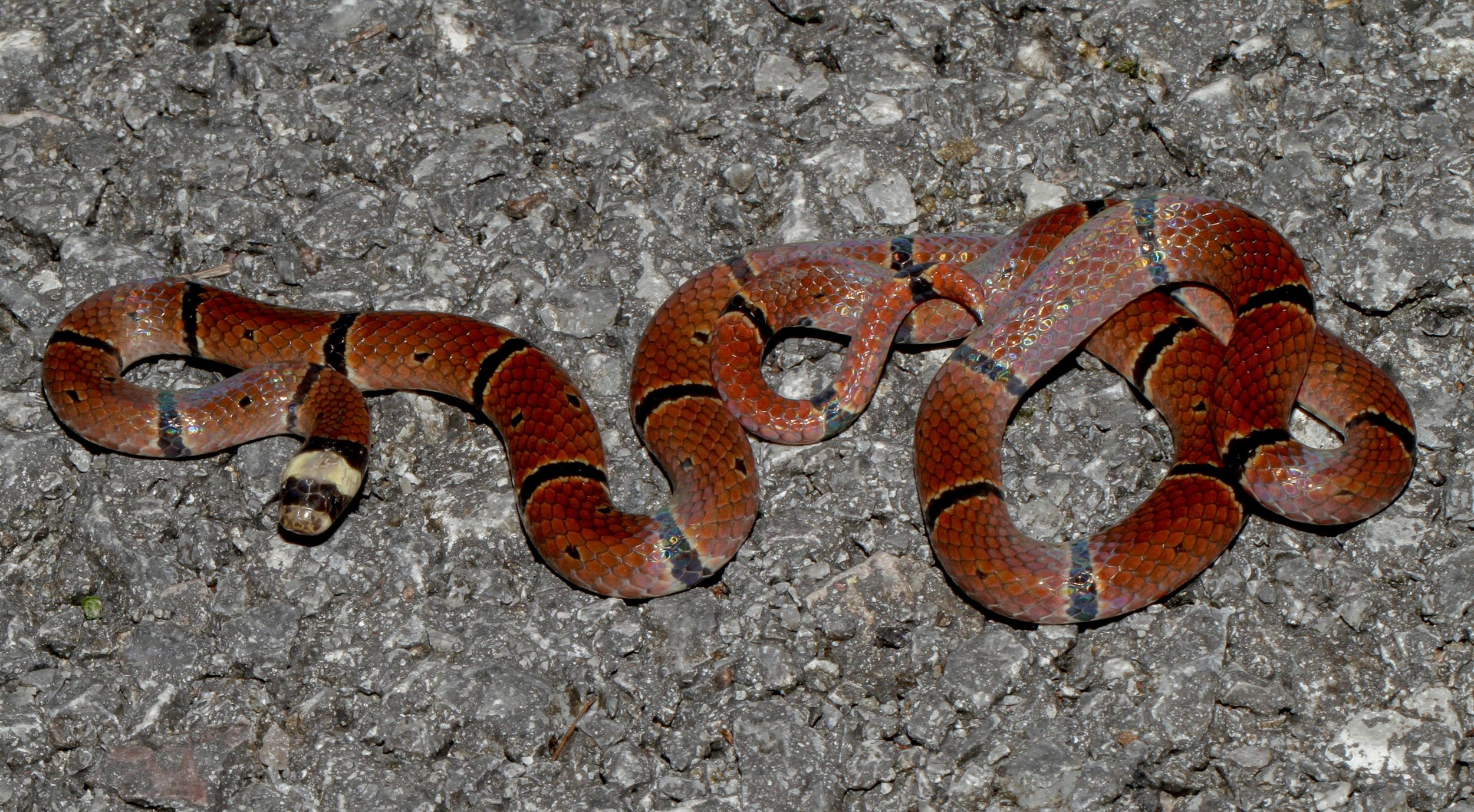 MCCLELLAND'S CORAL SNAKE  - Photo credit: Dan Rosenberg