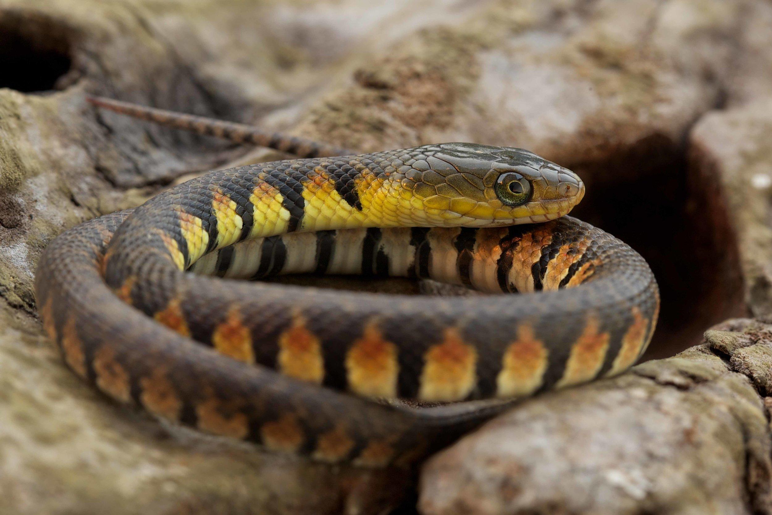 Copy of Mountain Water Snake - Juvenile