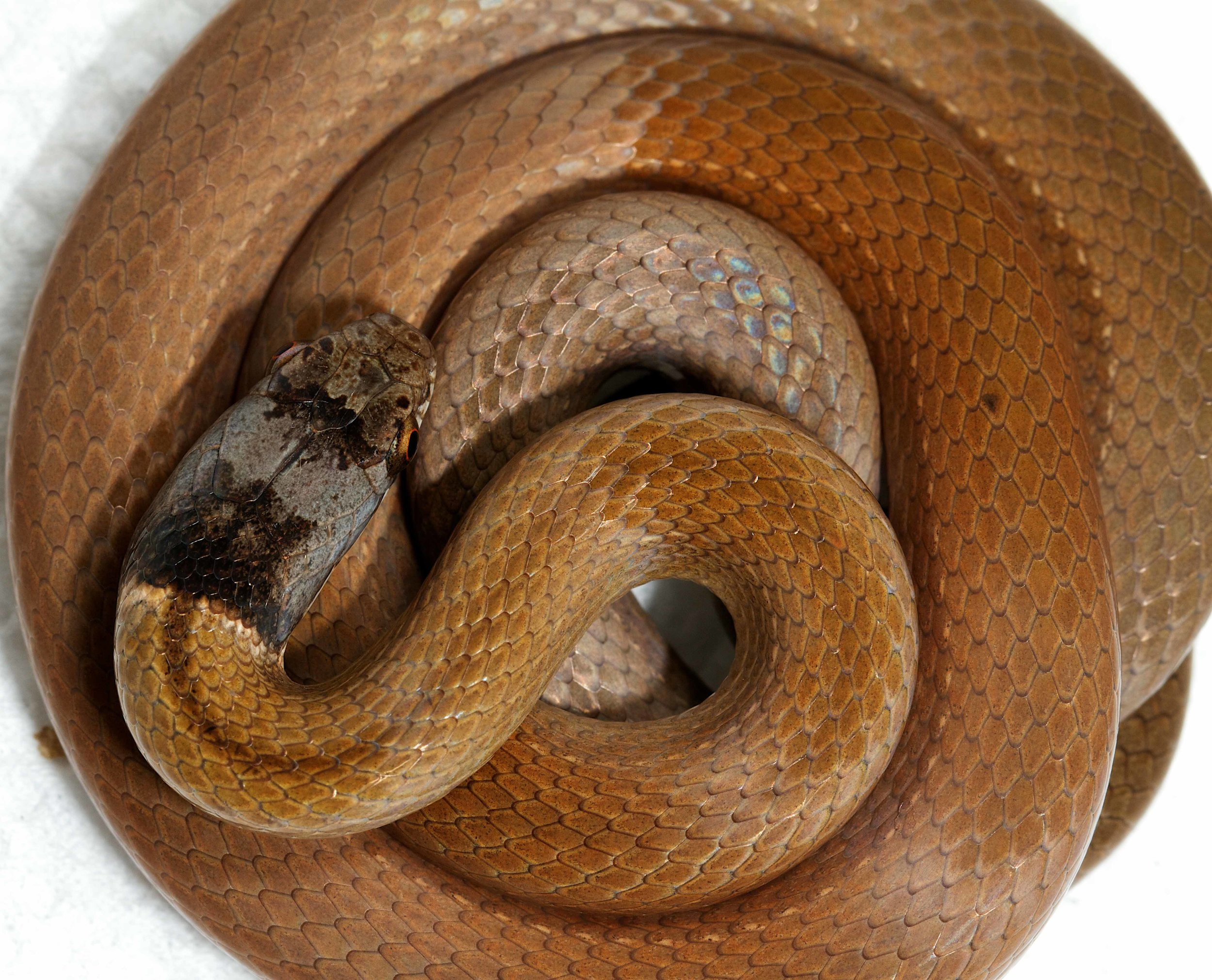 Copy of Chinese Mountain Snake