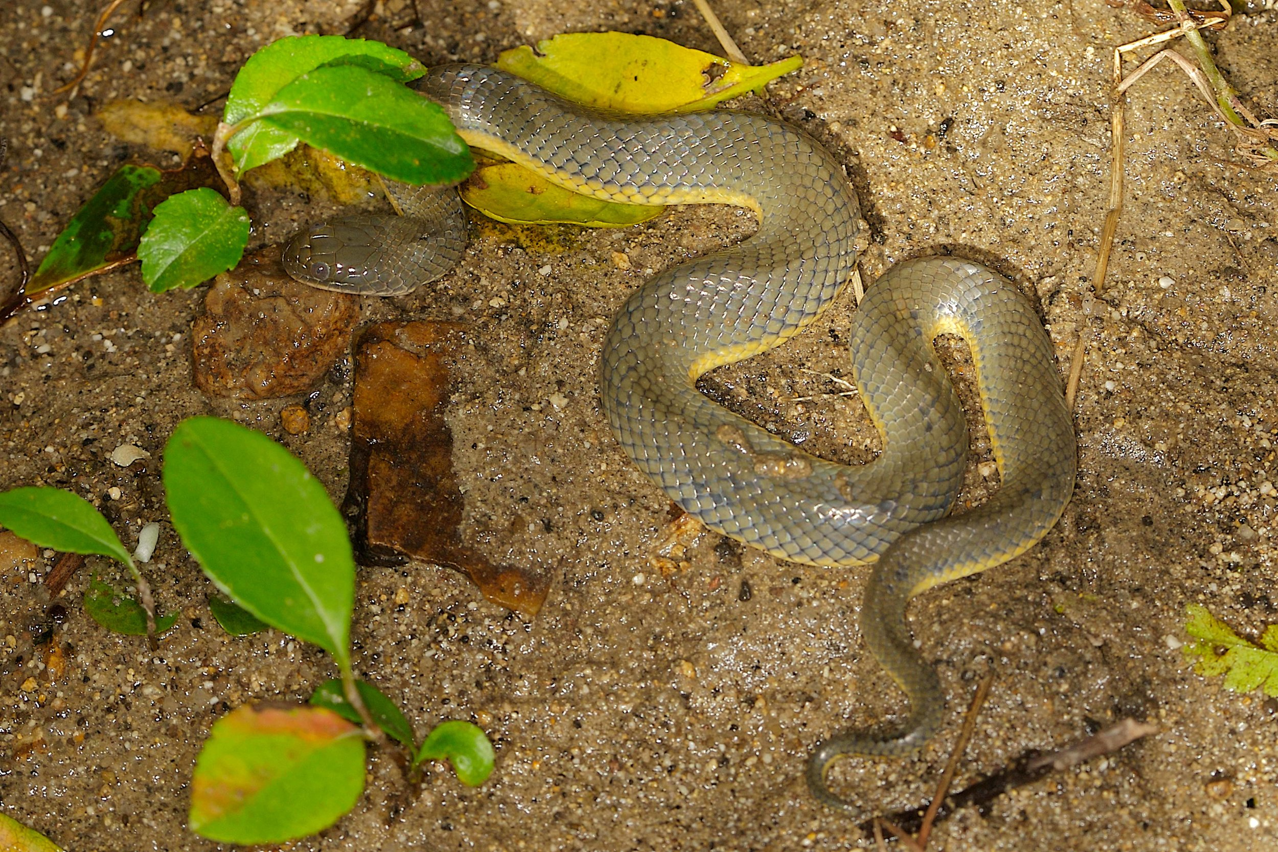 Copy of Plumbeous Water Snake