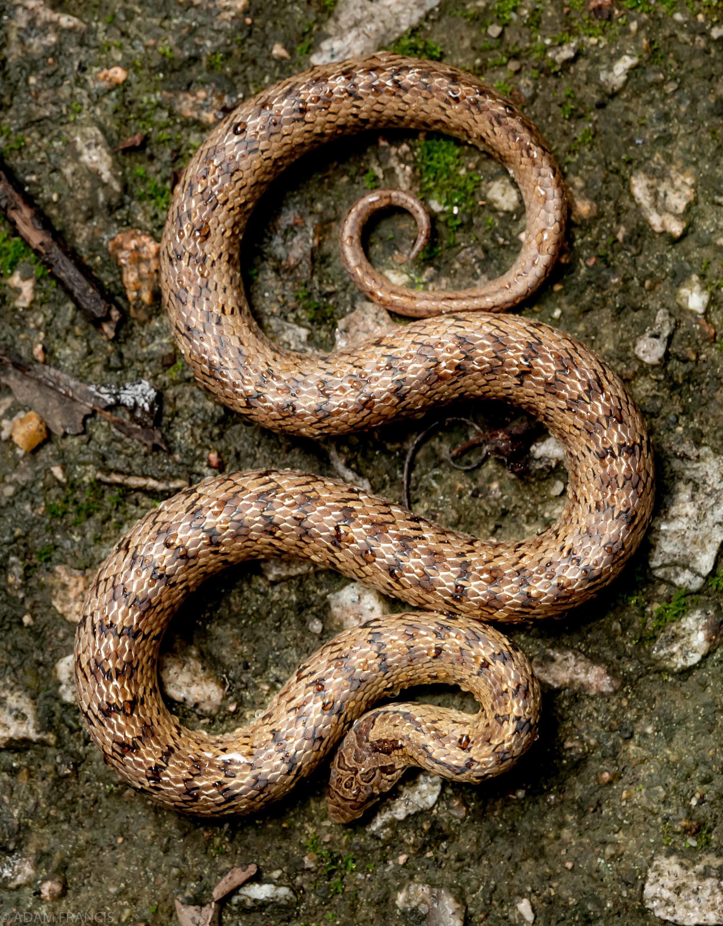 台灣小頭蛇