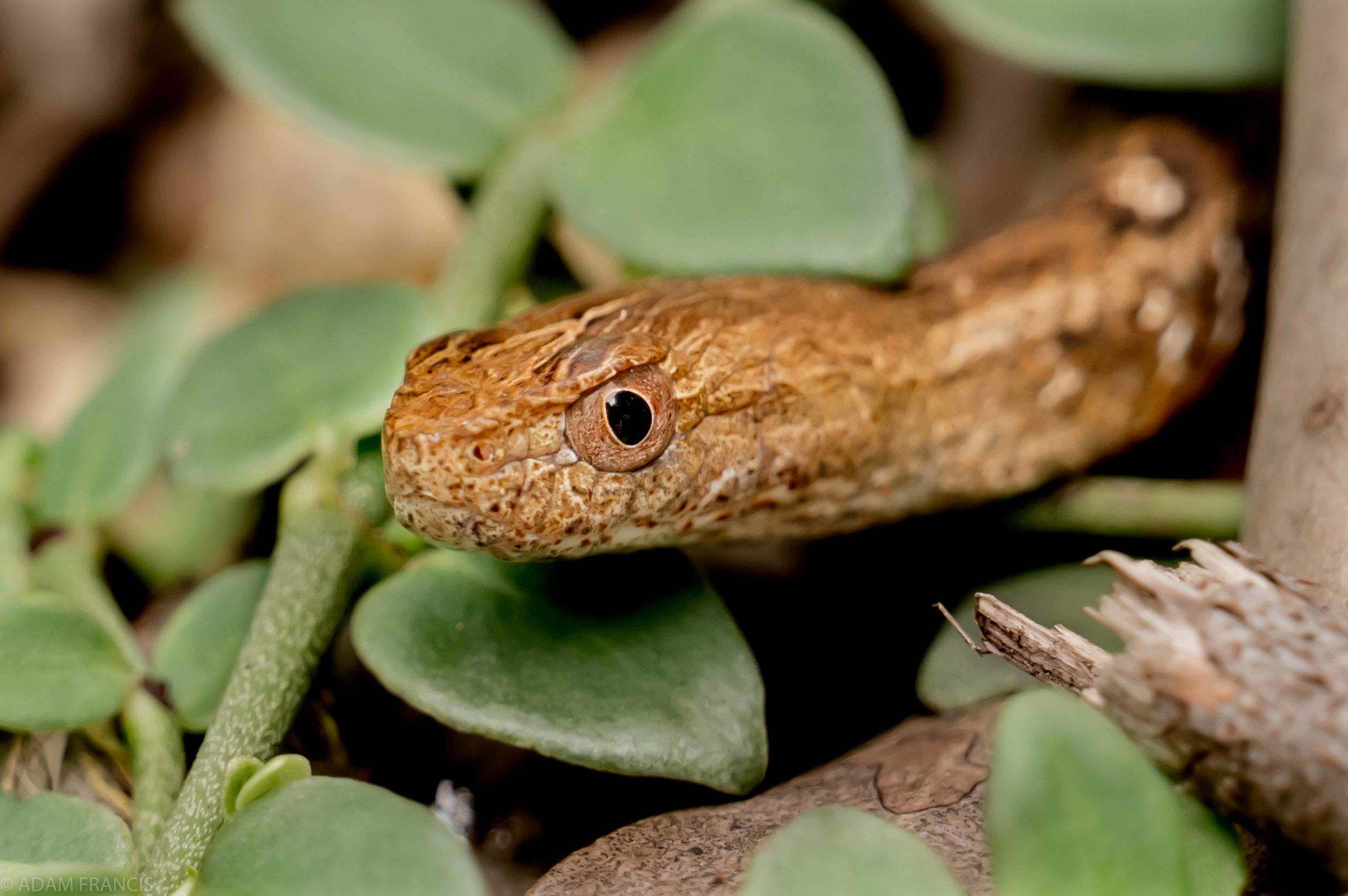 Copy of Mock Viper