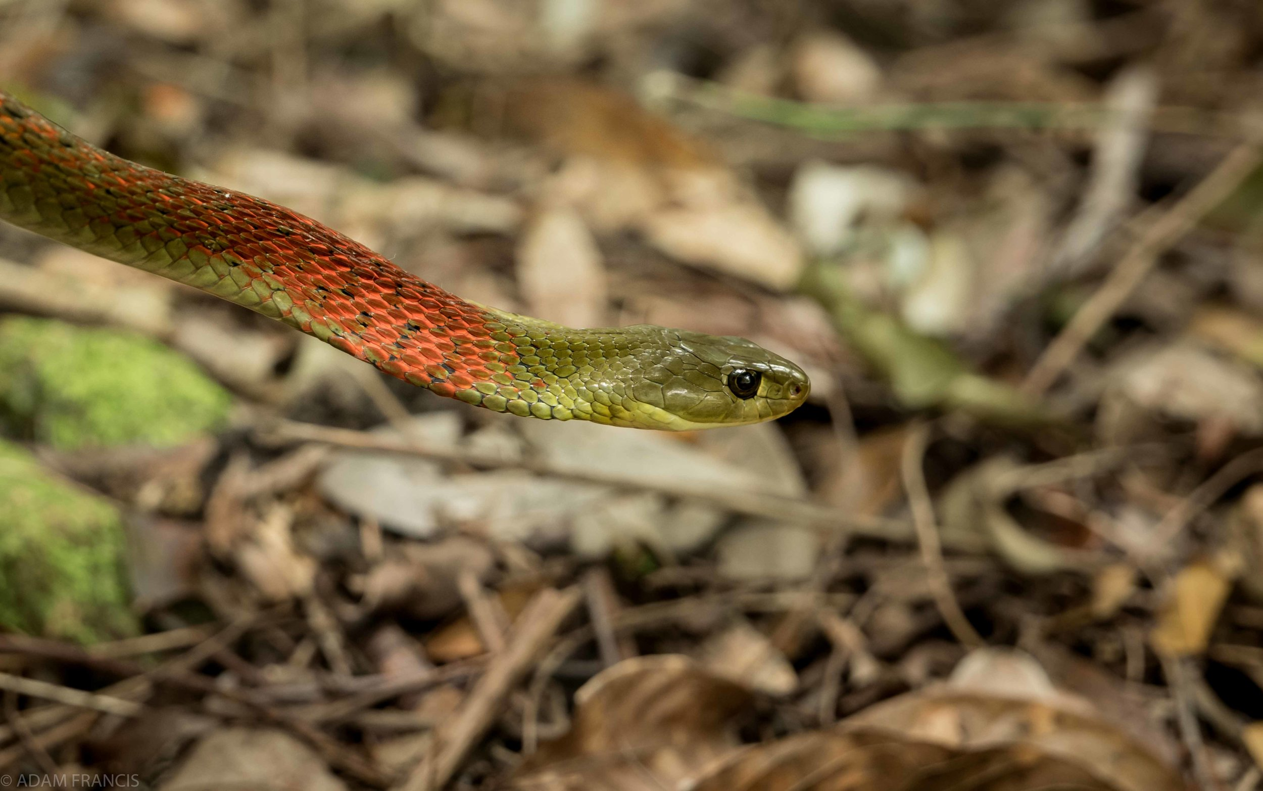 Copy of Red Neck Keelback