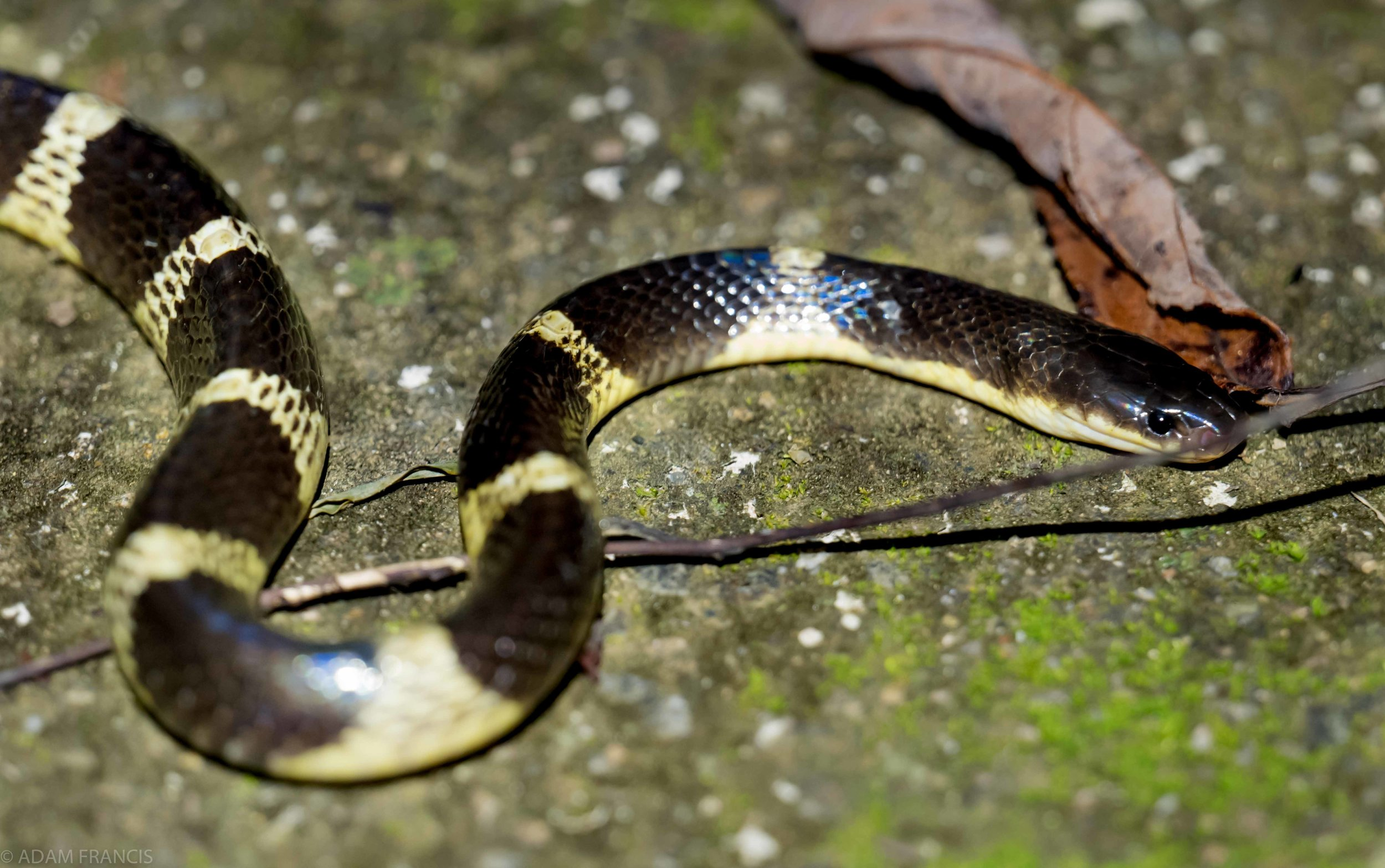 Many Banded Krait - Yellow Coloration