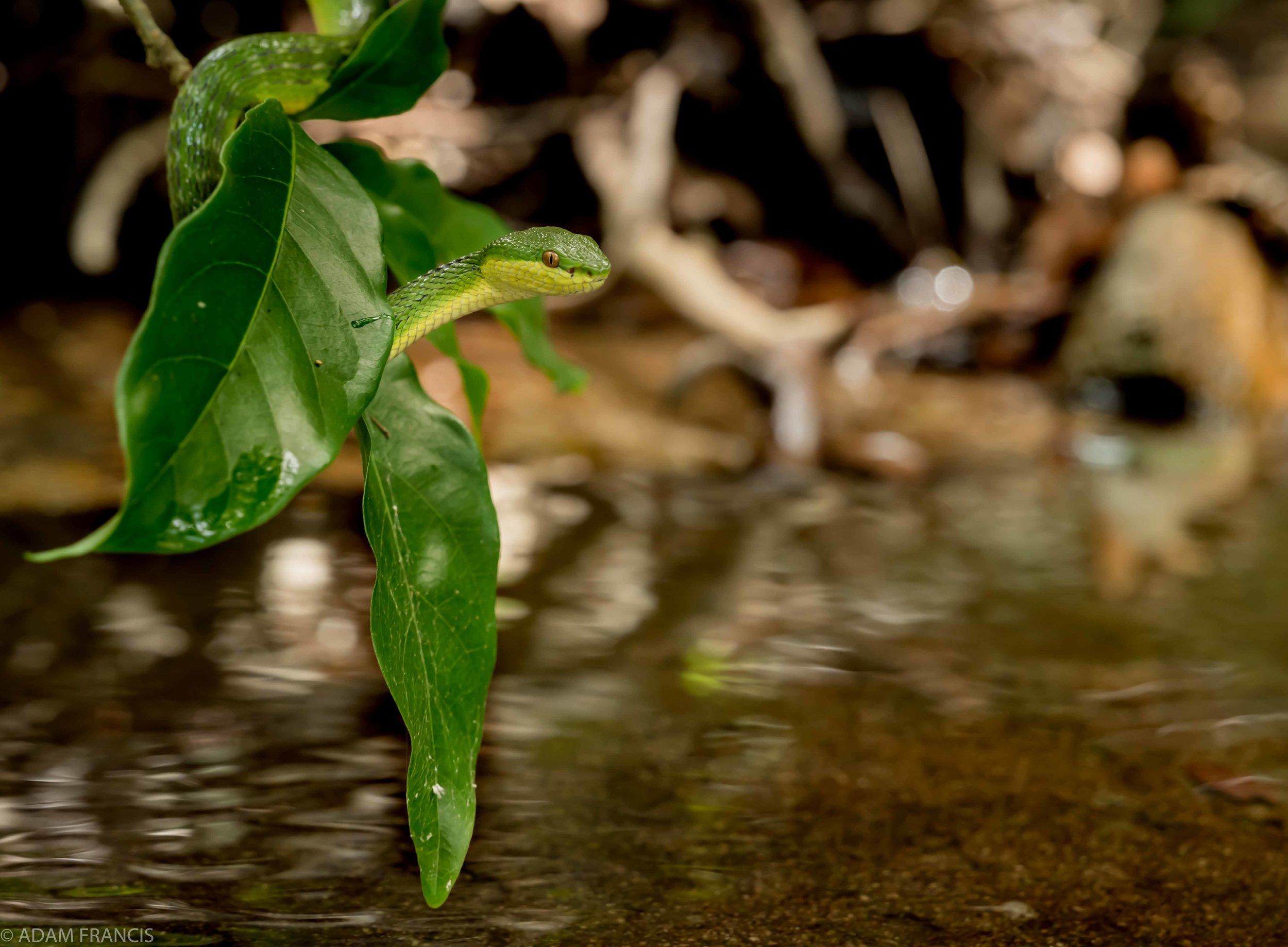 White-lipped Viper Bamboo Viper - Trimeresurus albolabris