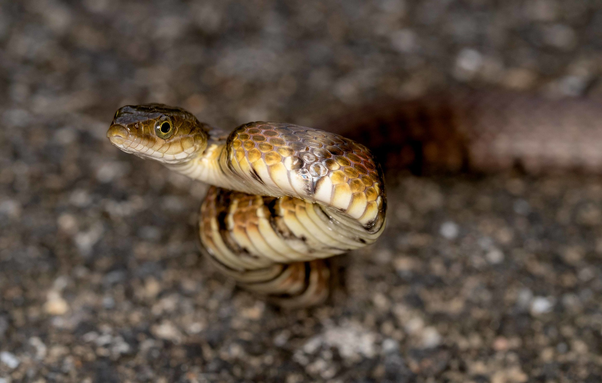 Copy of Mountain Water Snake