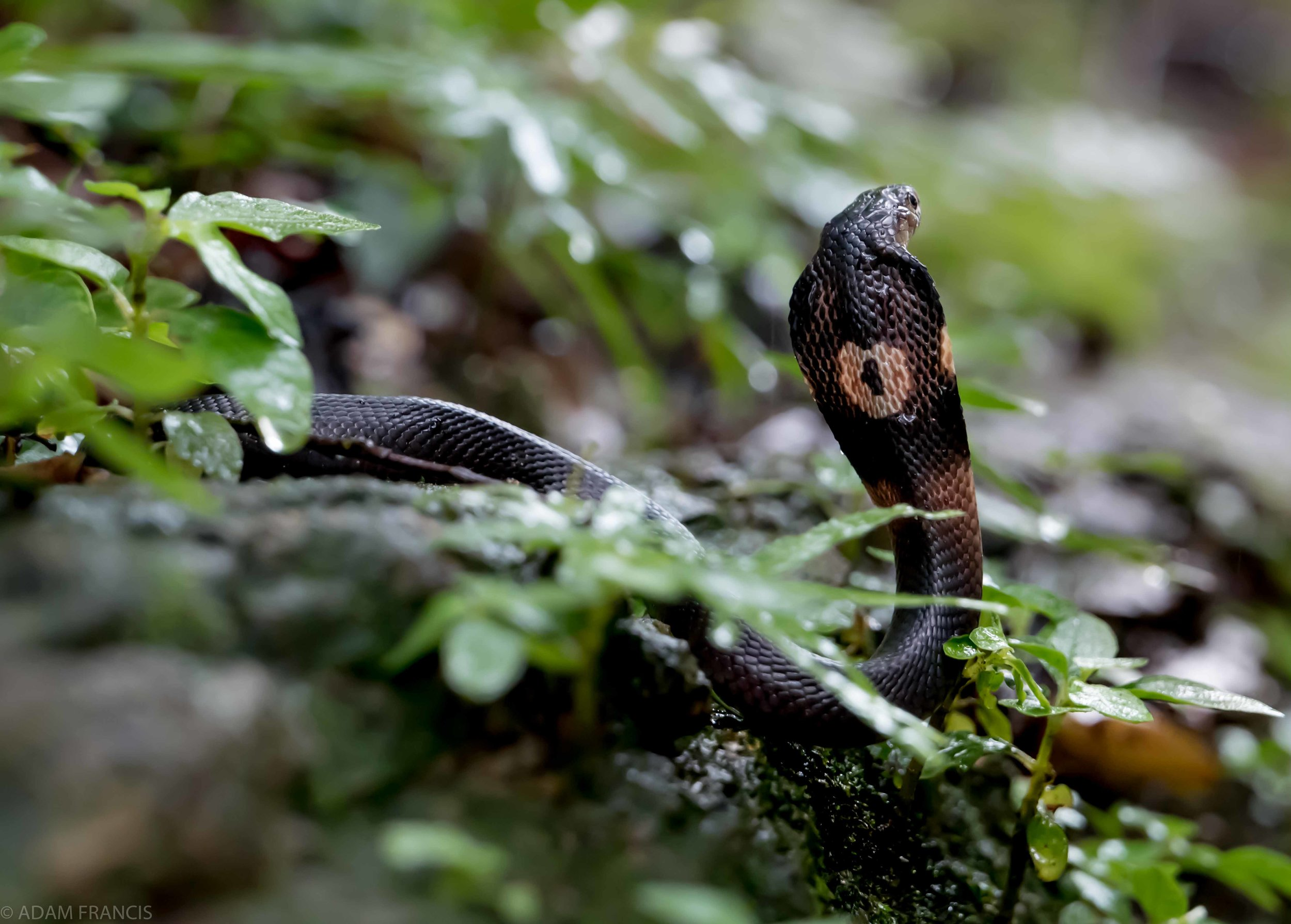 Copy of Chinese Cobra - Juvenile