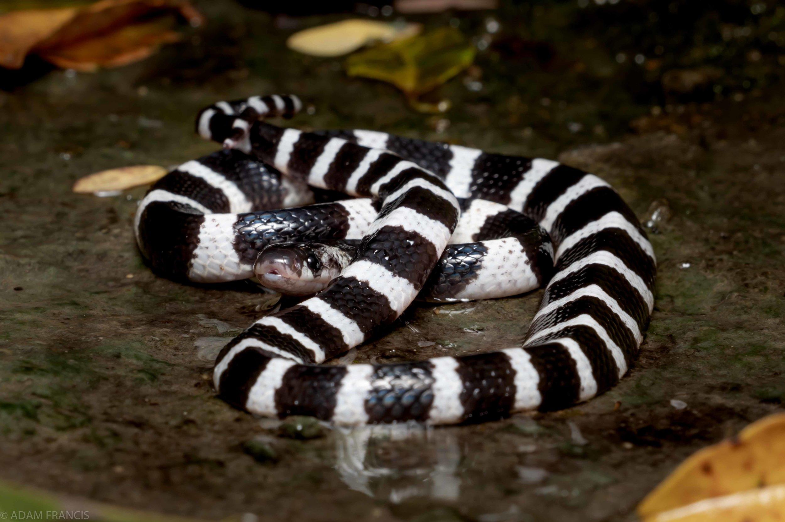 銀腳帶/銀環蛇