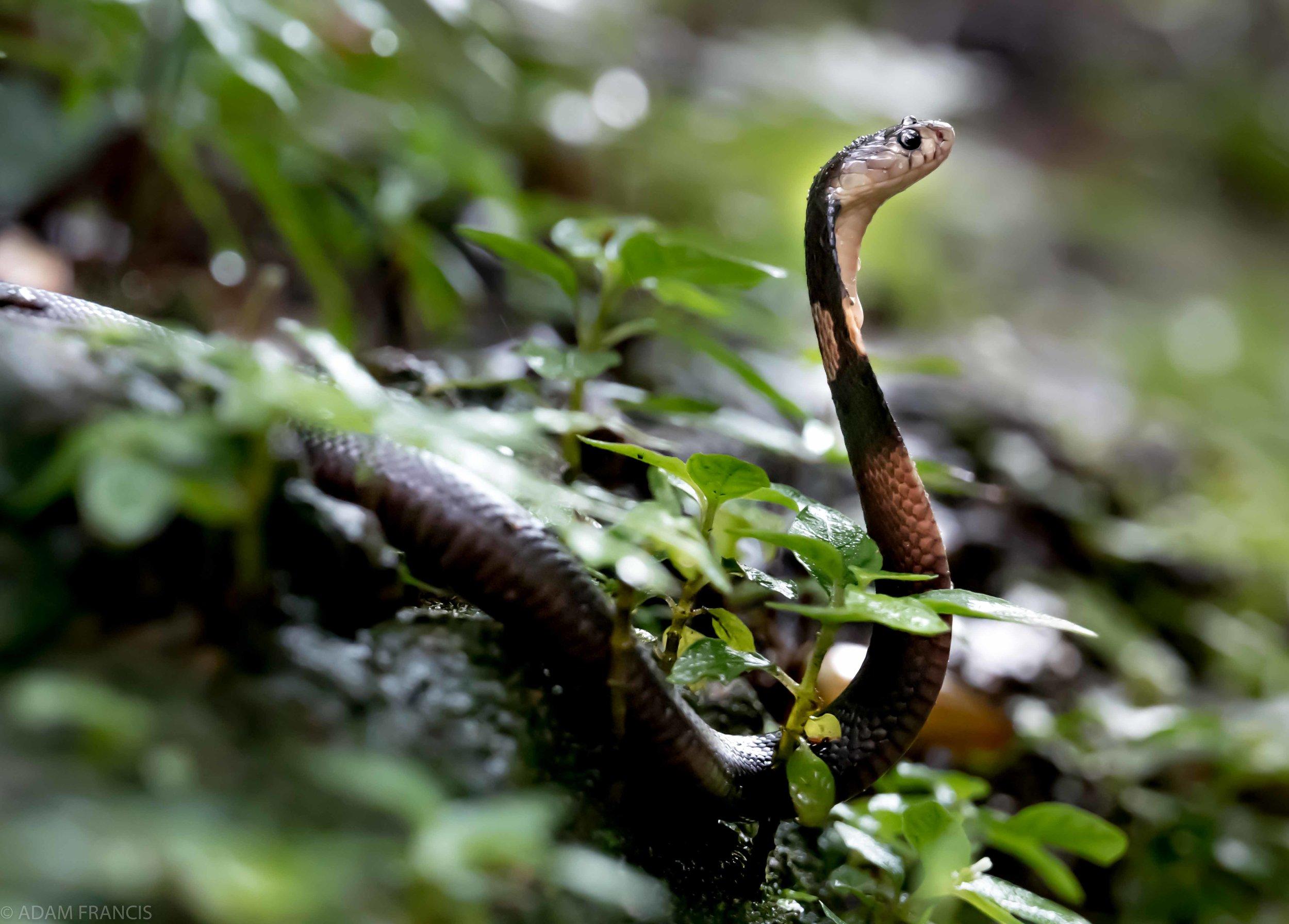 Chinese Cobra Naja atra 4.jpg