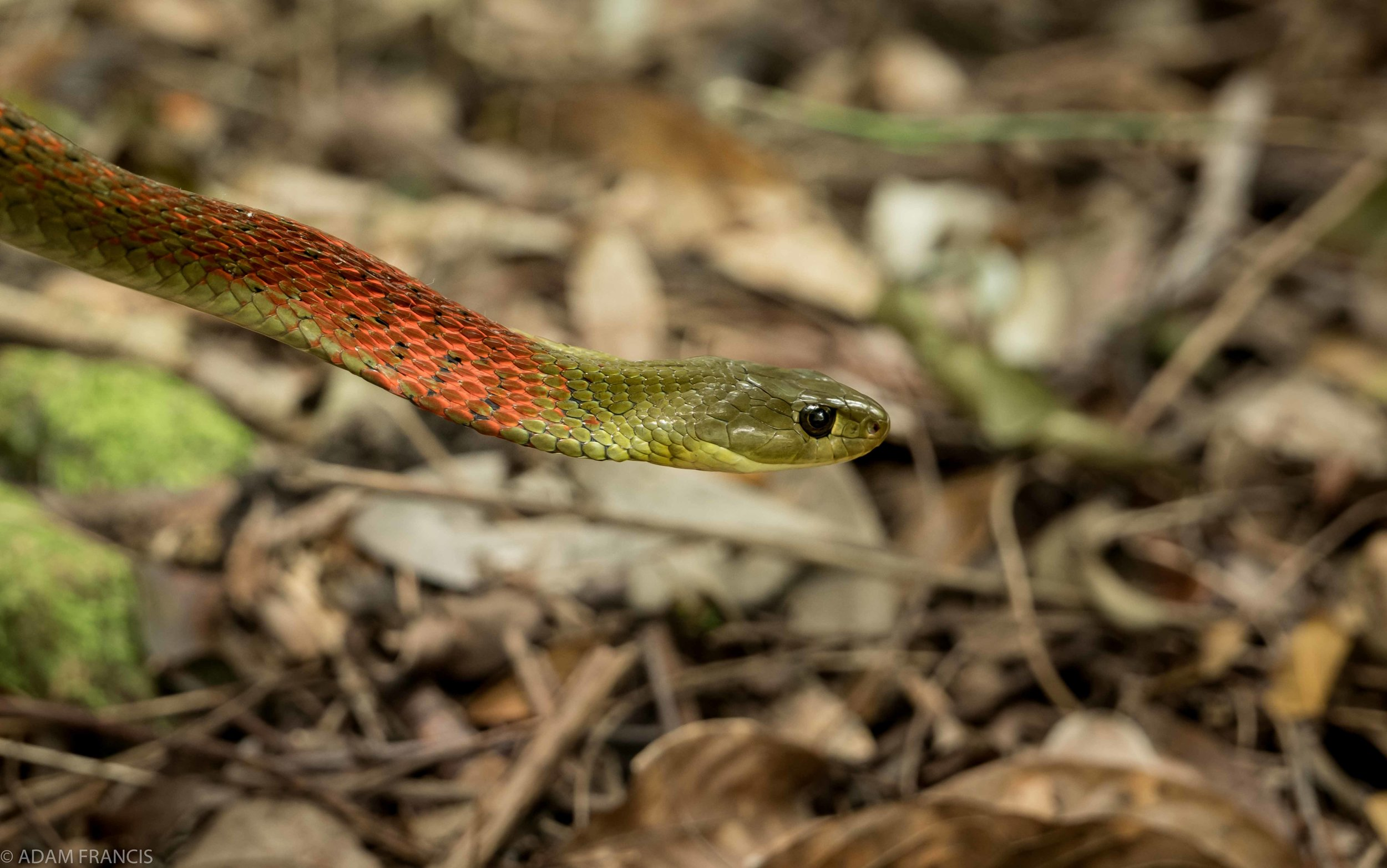 RED NECK KEELBACK